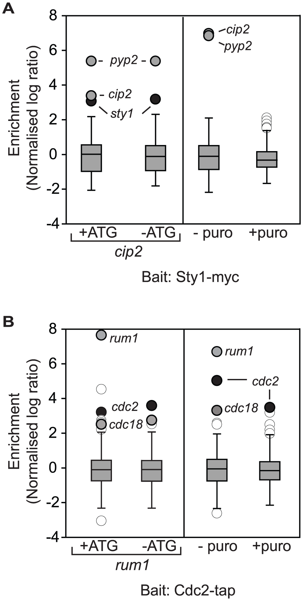 Cotranslational association of Cdc2p-Rum1p and Sty1p-Cip2p.