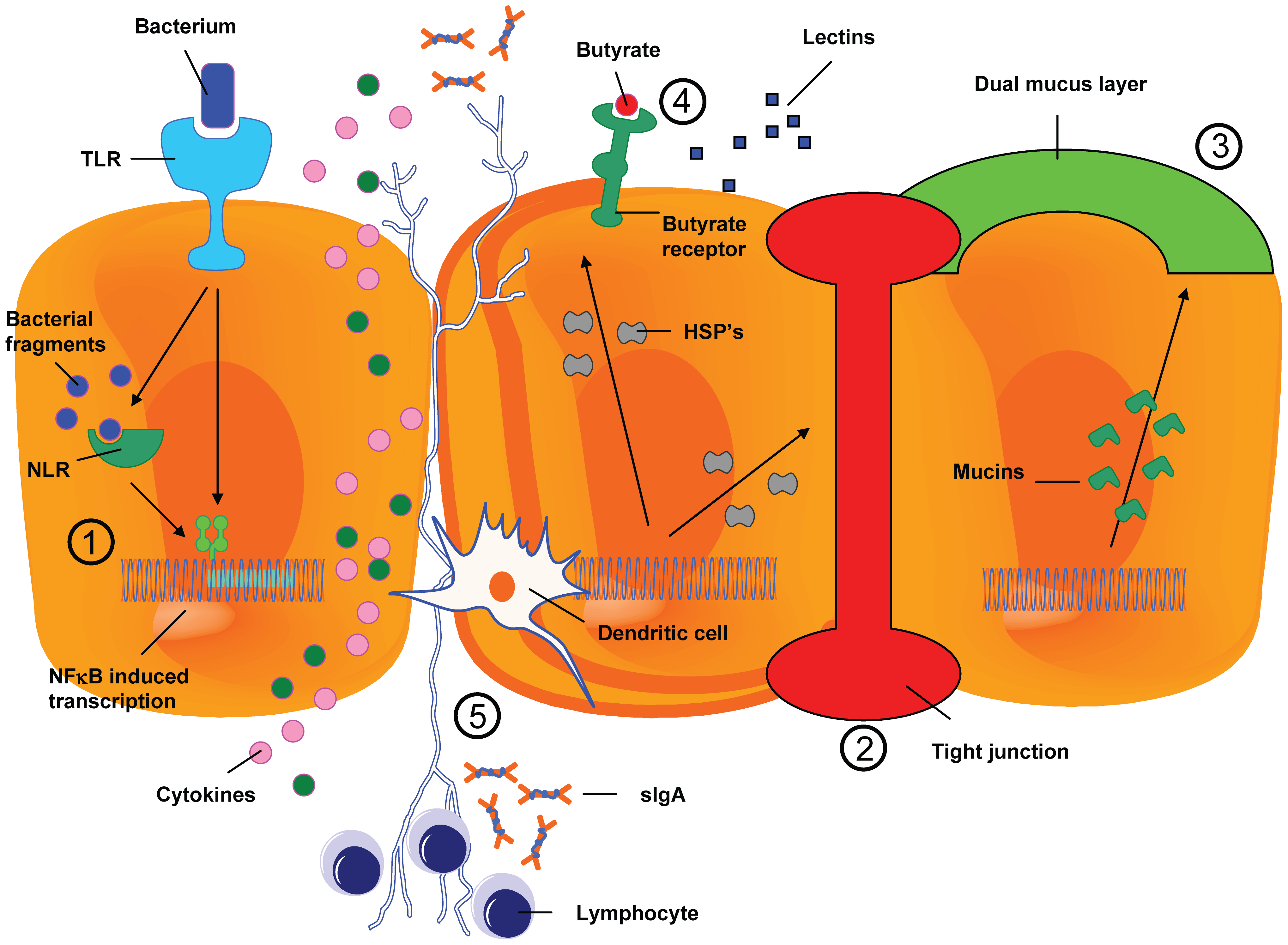 The resident microbiota interferes in the process of mucositis.