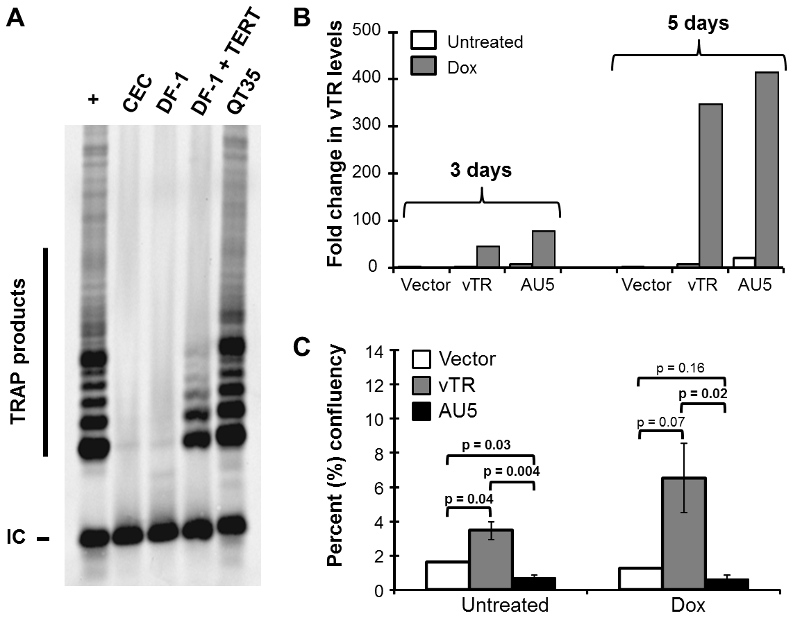 Expression of vTR harboring the mutant template (AU5) decreases cell proliferation of an avian cancer cell line.