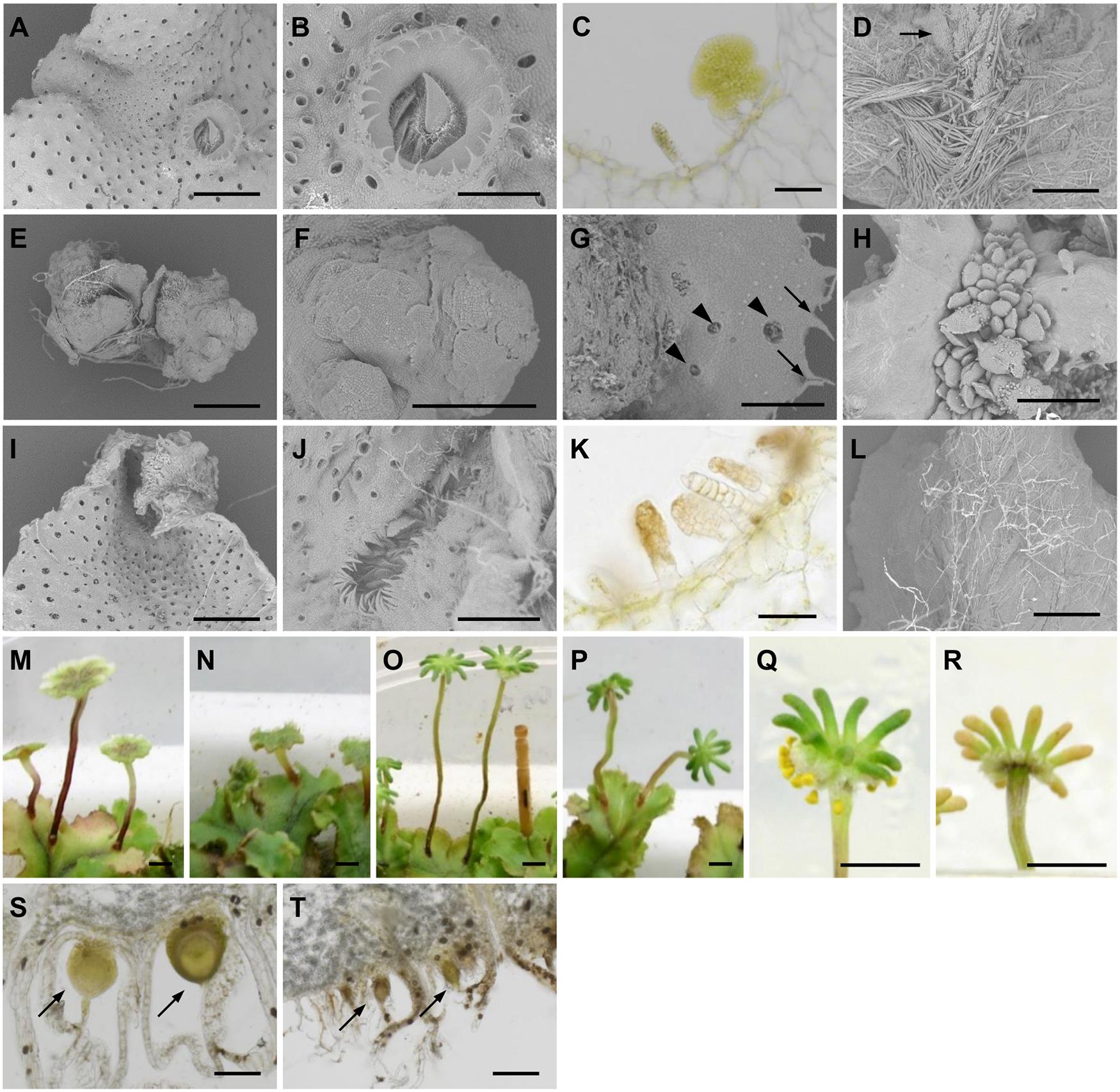 Morphological defects of <sub><i>pro</i></sub><i>MpIAA</i>:<i>MpIAA</i><sup><i>mDII</i></sup><i>-GR</i> plants.