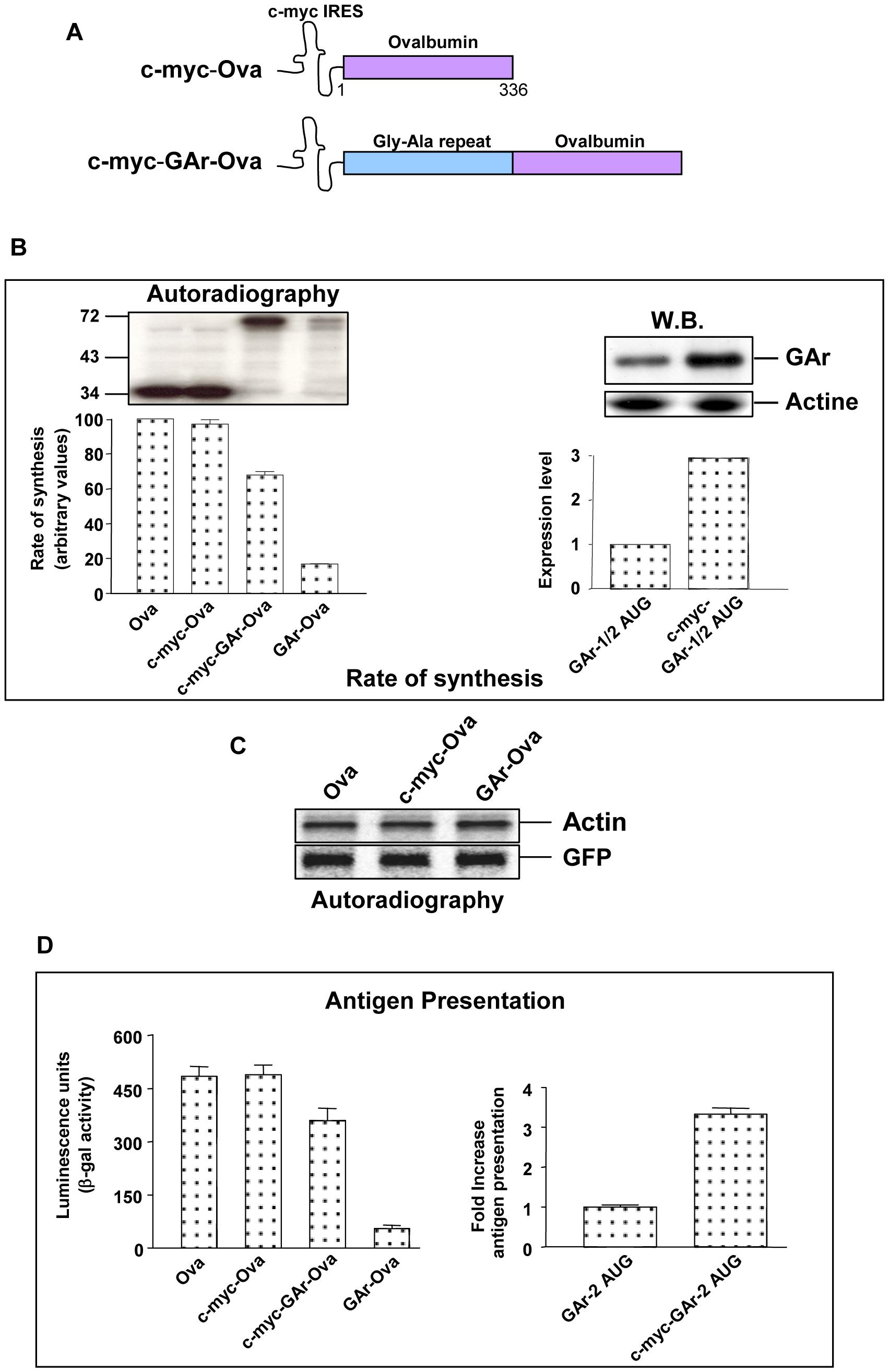 GAr suppresses antigen presentation by targeting the mRNA translation initiation process.