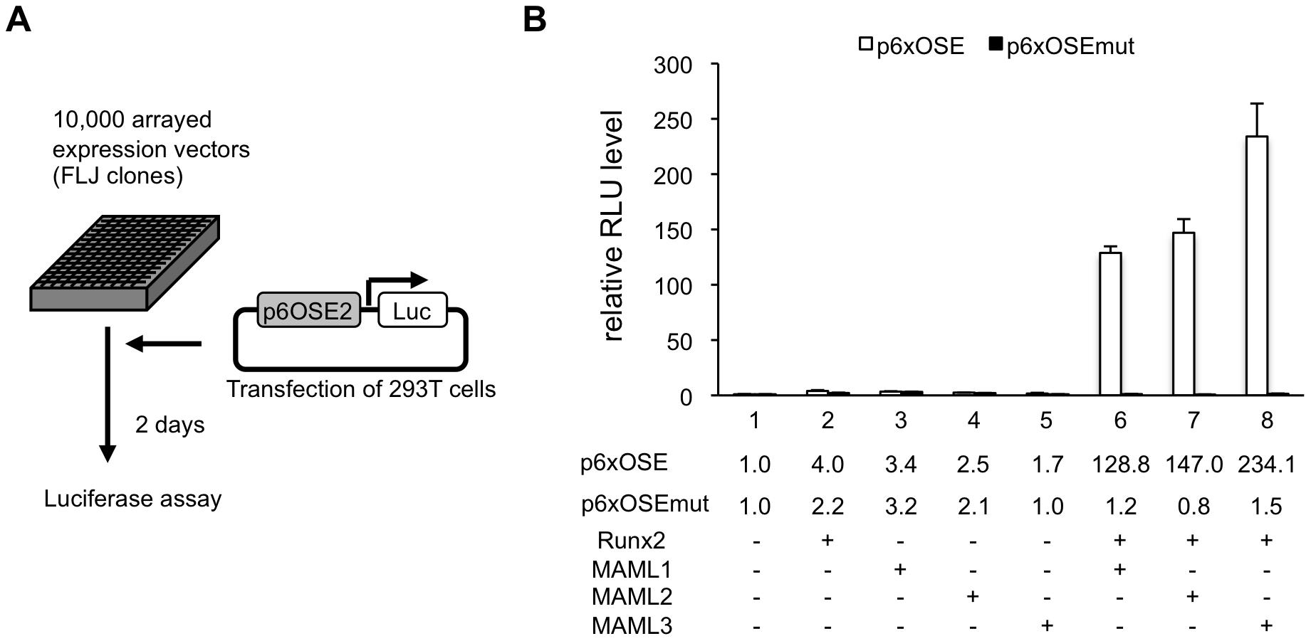 MAML1 enhances the transcriptional activity of Runx2.