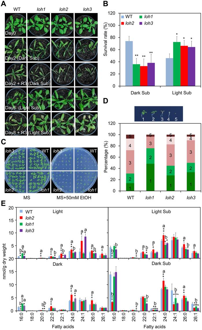 Phenotypic analysis of <i>loh</i> mutants in response to hypoxic and ethanolic treatments.