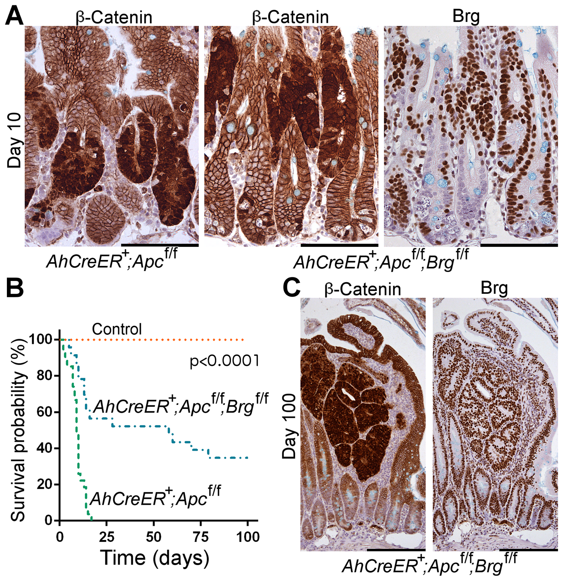 Brg1 loss is incompatible with Wnt-driven adenoma formation and improves animal survival upon Apc inactivation in the small intestine.