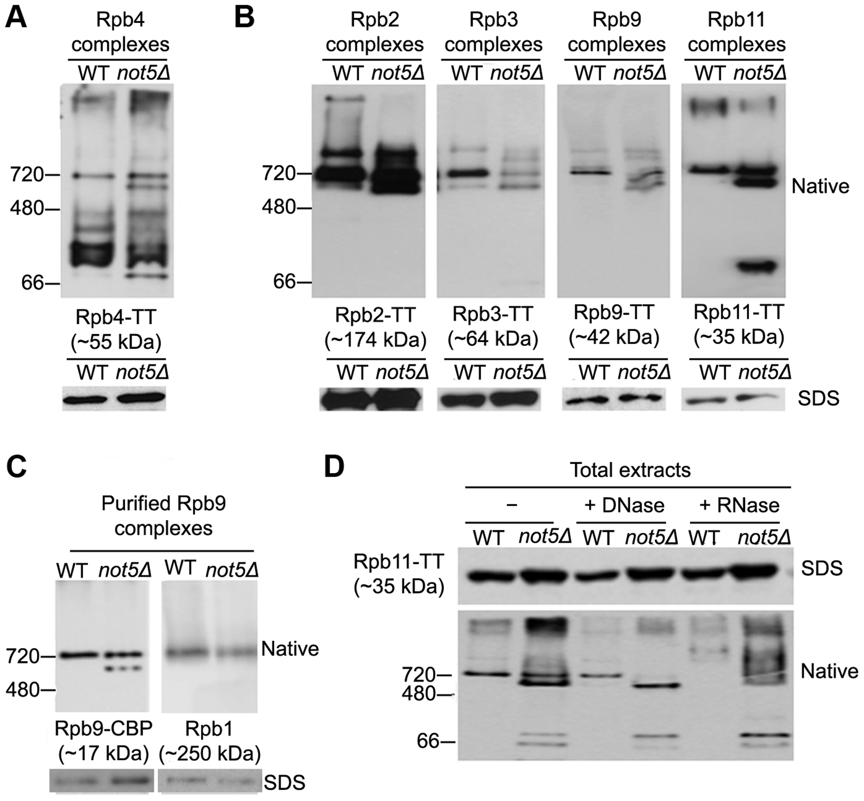 Polymerase sub-complexes lacking Rpb1 accumulate in <i>not5Δ</i>.