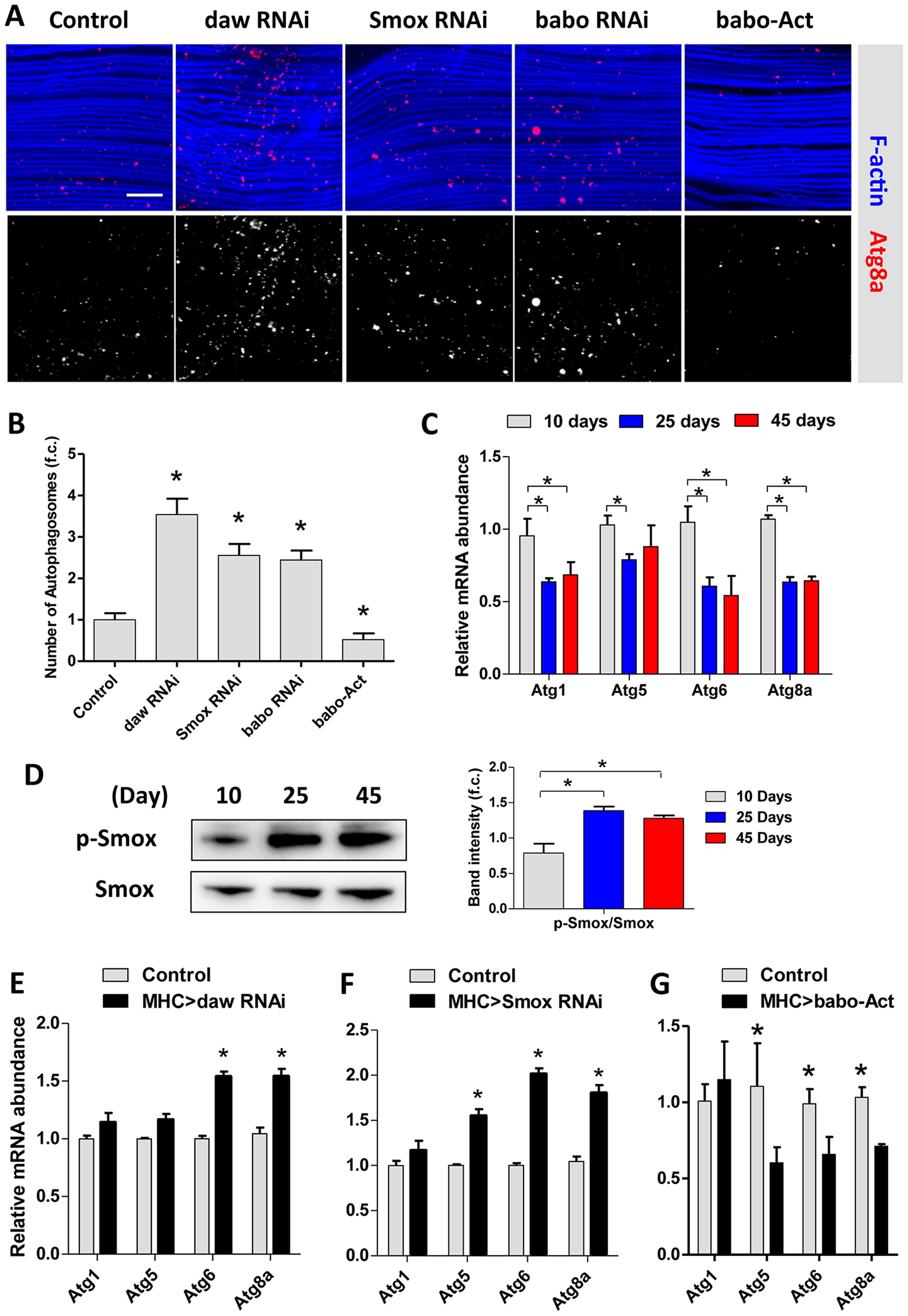 Activin regulates muscle autophagy.