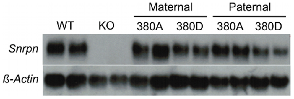 380J10 BAC transgene expression analysis.