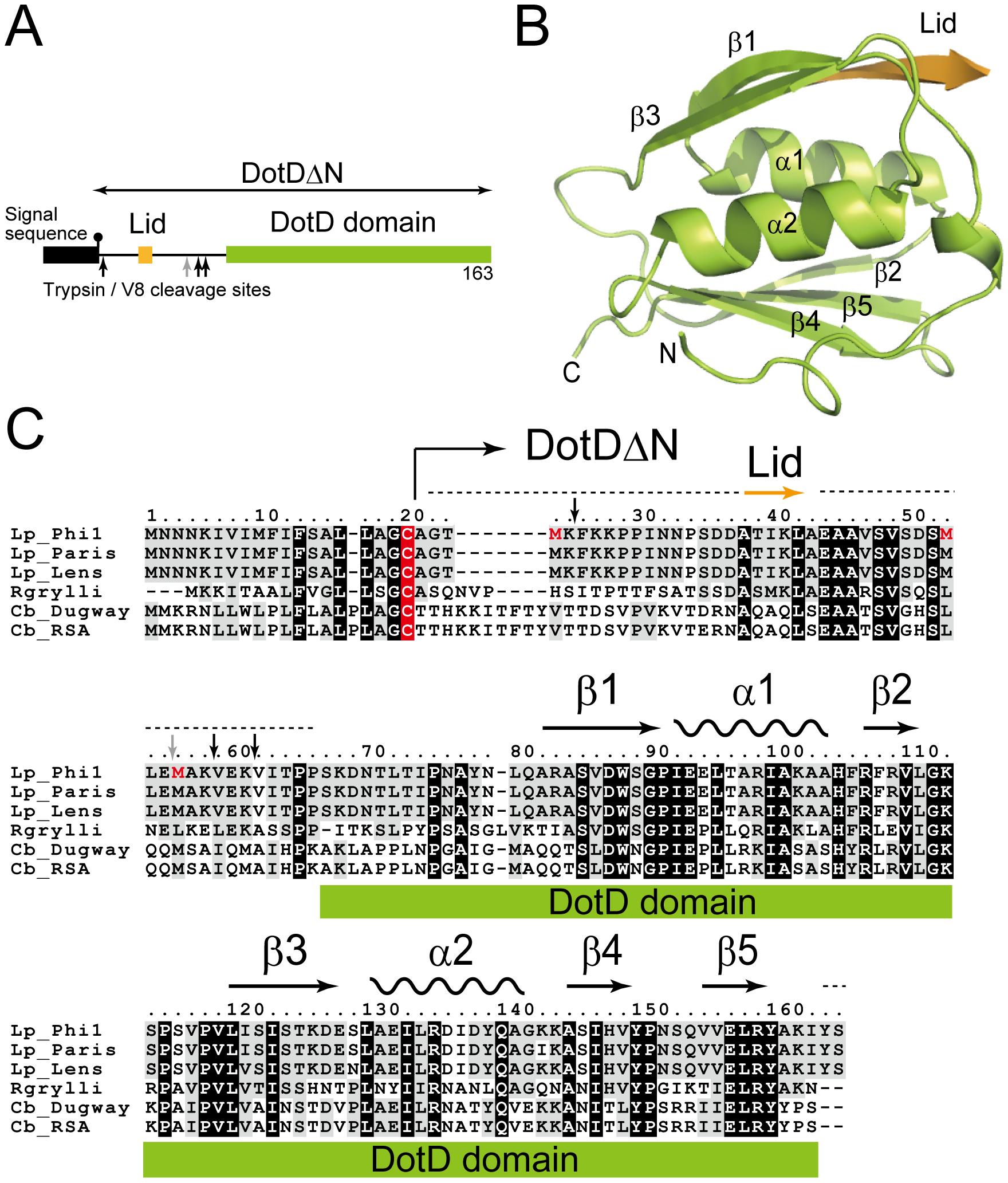 Structure of DotDΔN.