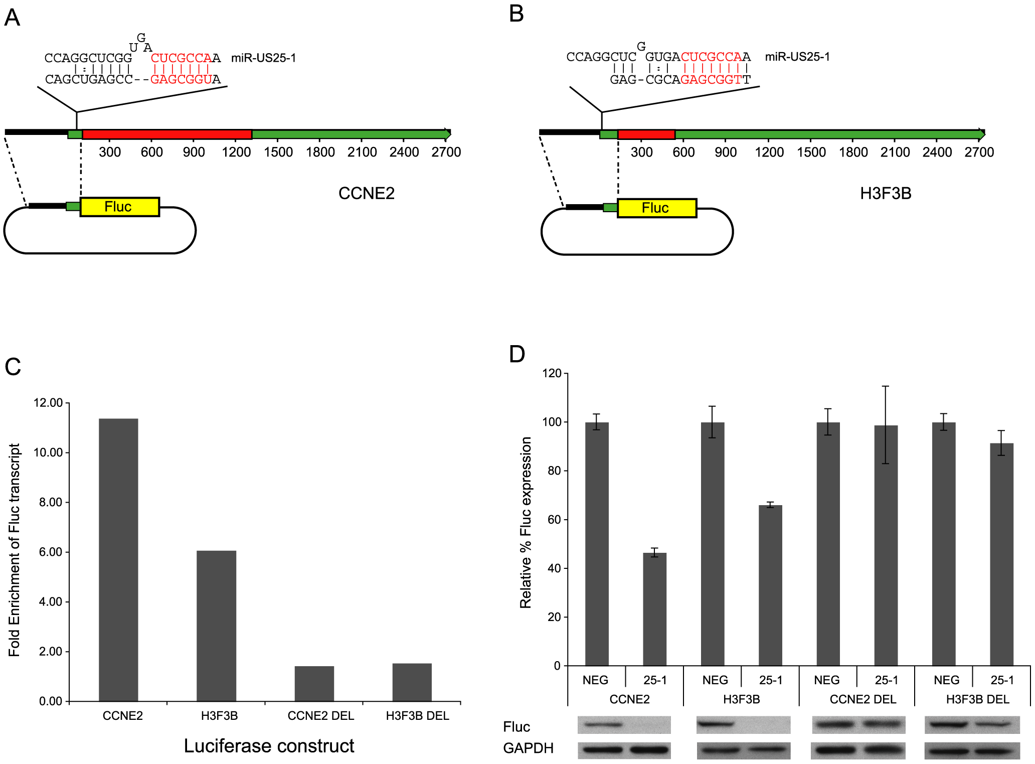 miR-US25-1 represses gene expression.