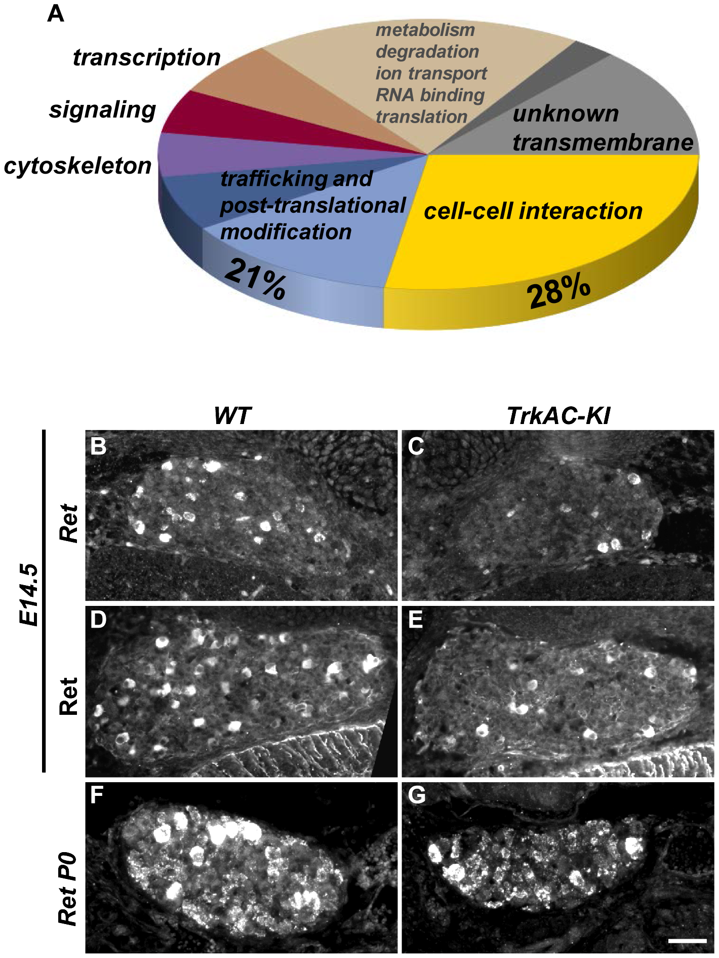 Microarray screen for differentially expressed genes in DRGs from E14.5 <i>TrkAC-KI</i> embryos reveal a number of genes potentially responsible for NGF-dependent axonal growth.