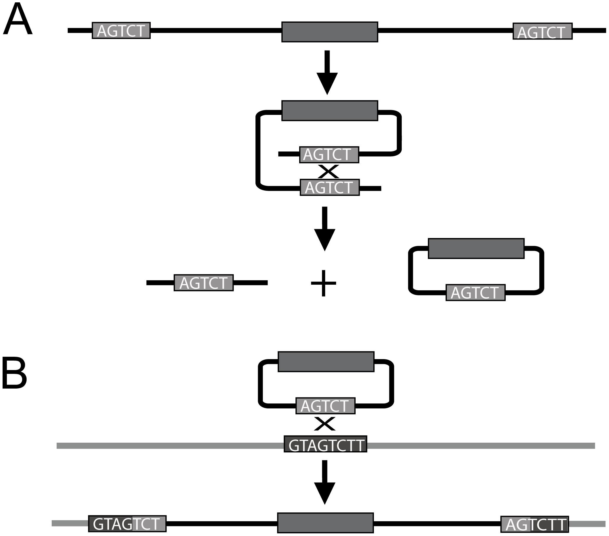 Diagram depicting intrachromosomal recombination and insertion via recombination of homologous sequence.