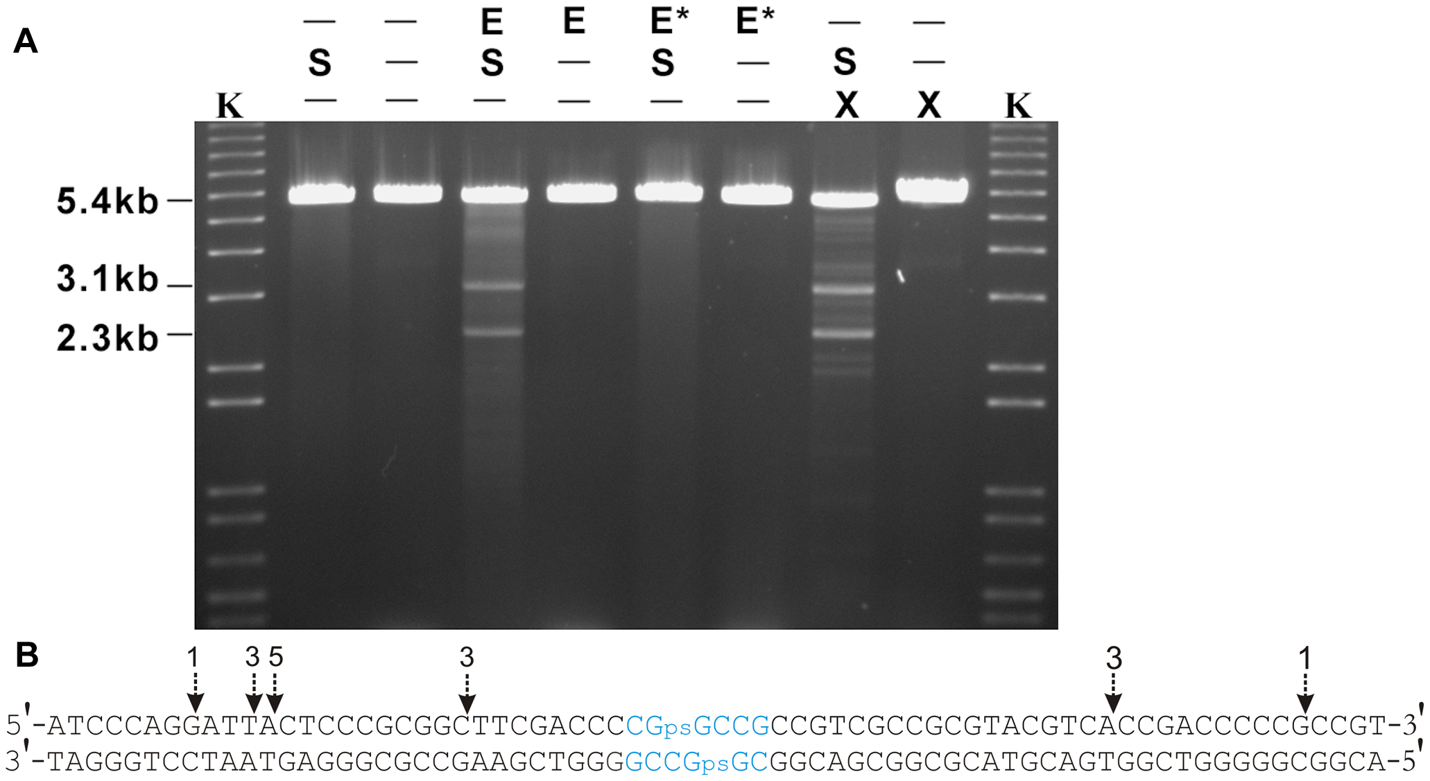 <i>In vitro</i> cleavage of S-modified (phosphorothioated) DNA by Tris-peracid or His<sub>6</sub>-Sco4631.
