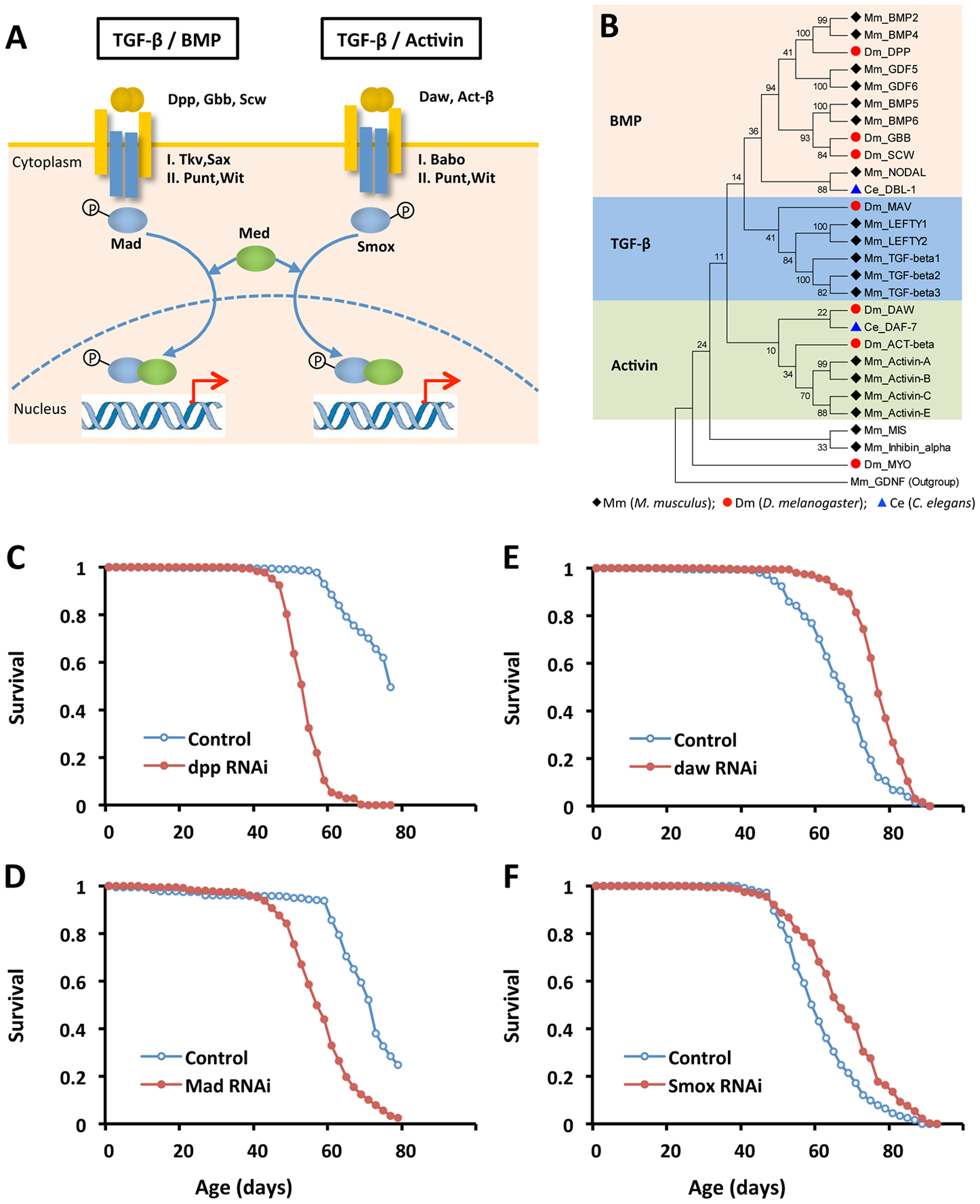 Reducing Activin signaling, but not BMP signaling prolongs lifespan in <i>Drosophila</i>.