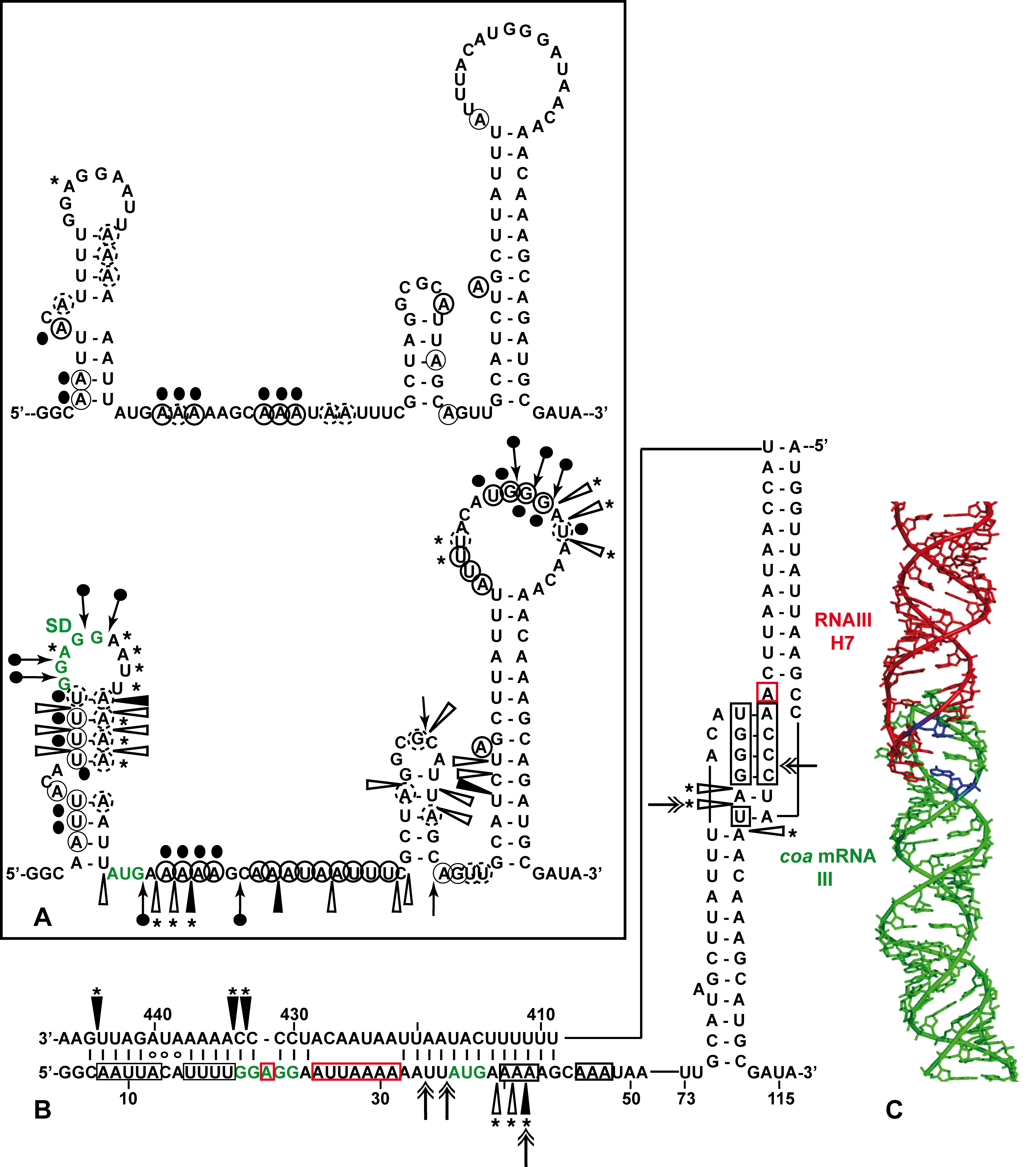 Structure of the RNAIII-<i>coa</i> mRNA complex.