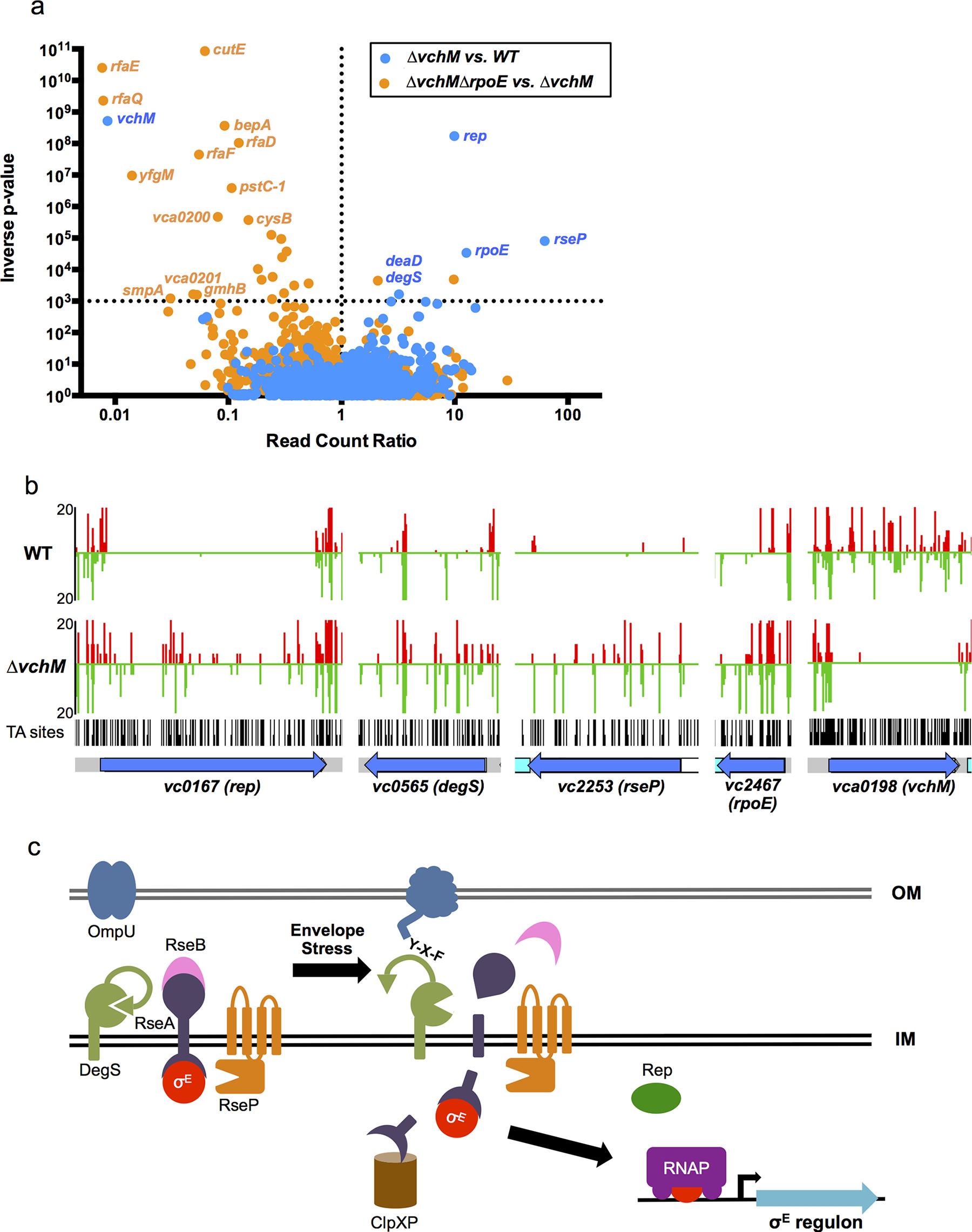 TIS-based identification of loci that interact genetically with <i>vchM</i> or <i>rpoE</i>.