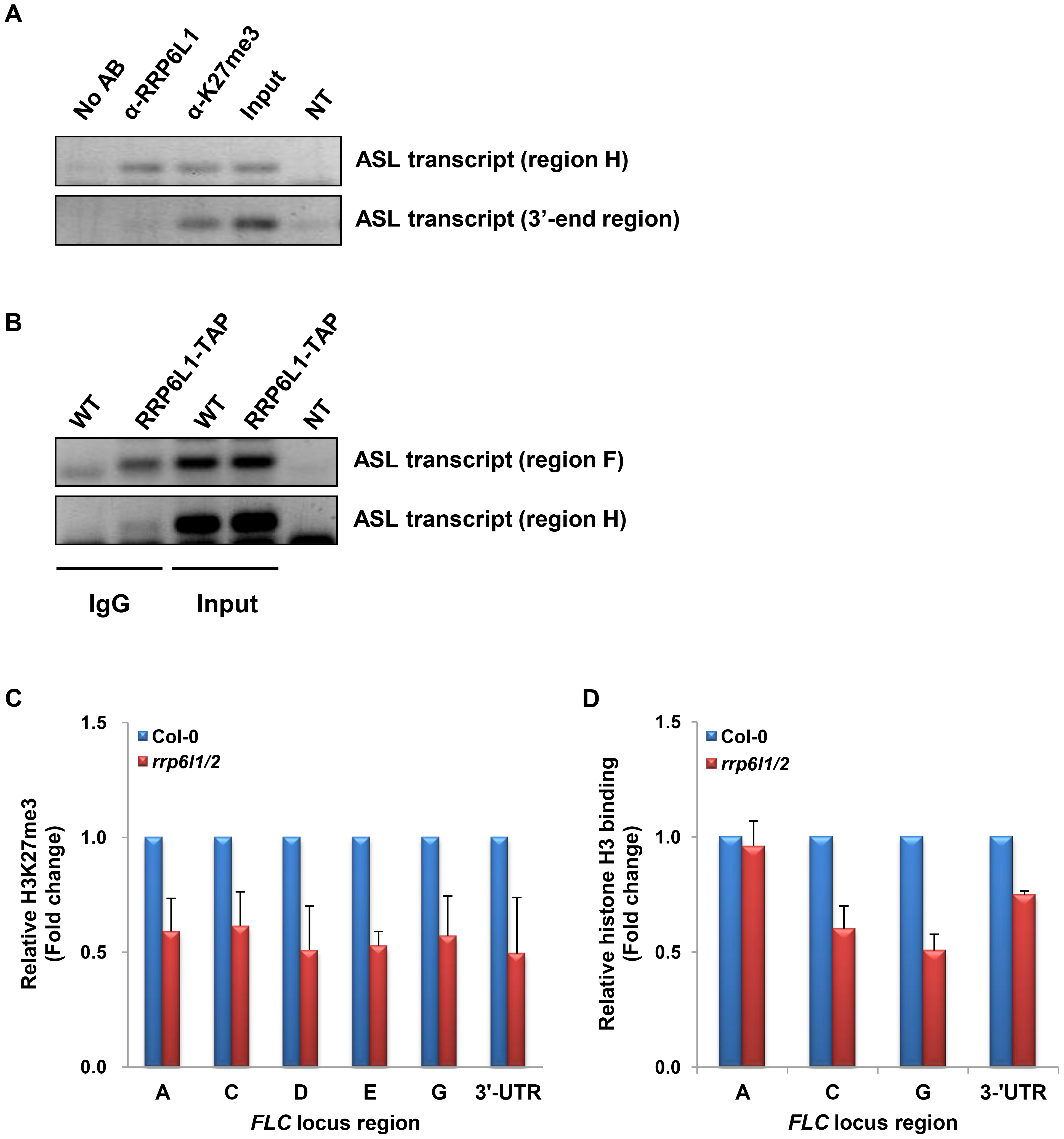 ASL transcript associates with AtRRP6L1 protein and H3K27 trimethylated regions and <i>rrp6l1/2</i> mutants have decreased H3K27me3 and nucleosome density.