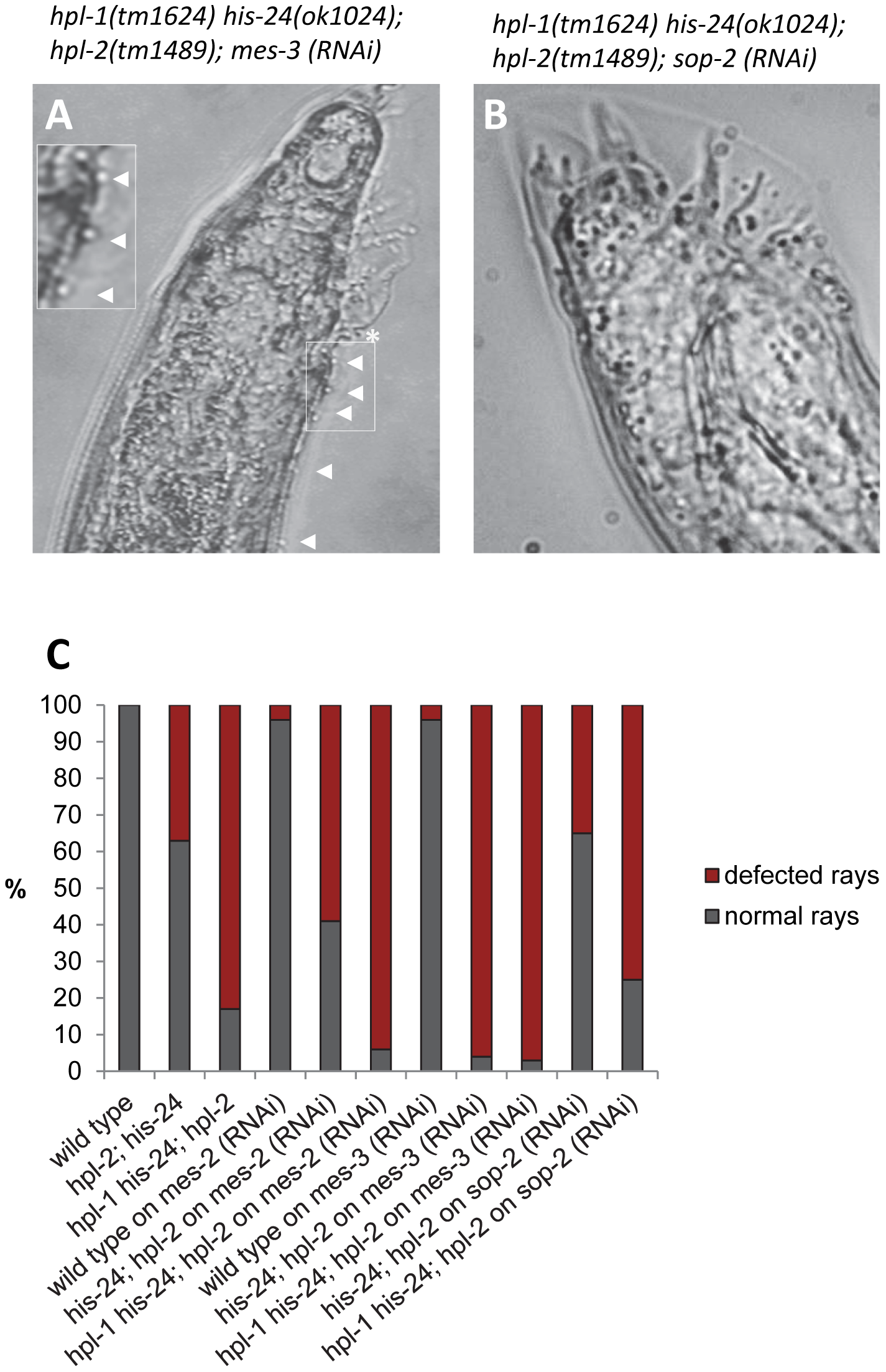 MES-2 and MES-3 enhances the number of defected rays in animals lacking <i>hpl-2</i> and <i>his-24</i>.
