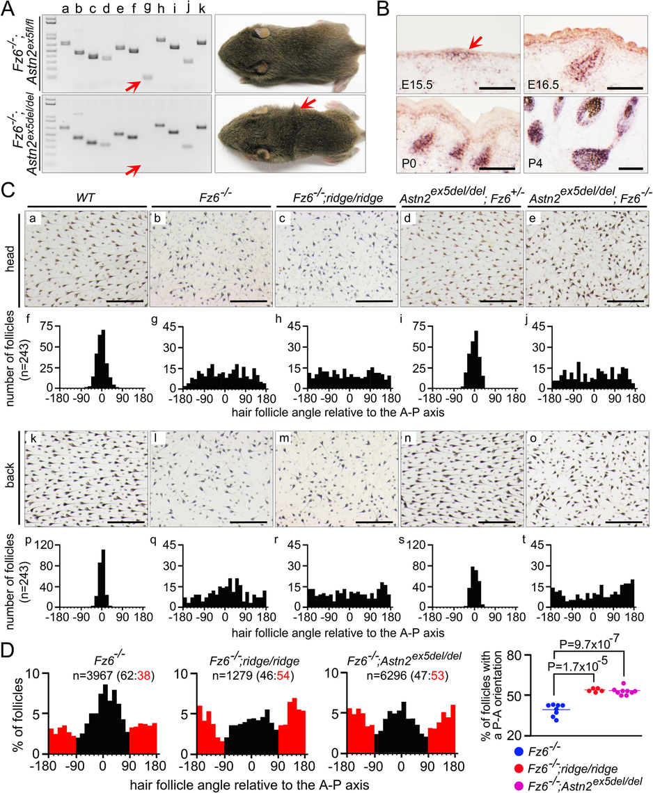 Targeted deletion of <i>Astn2</i> exon 5 and quantitative analysis of hair follicle orientations in early postnatal back skins.
