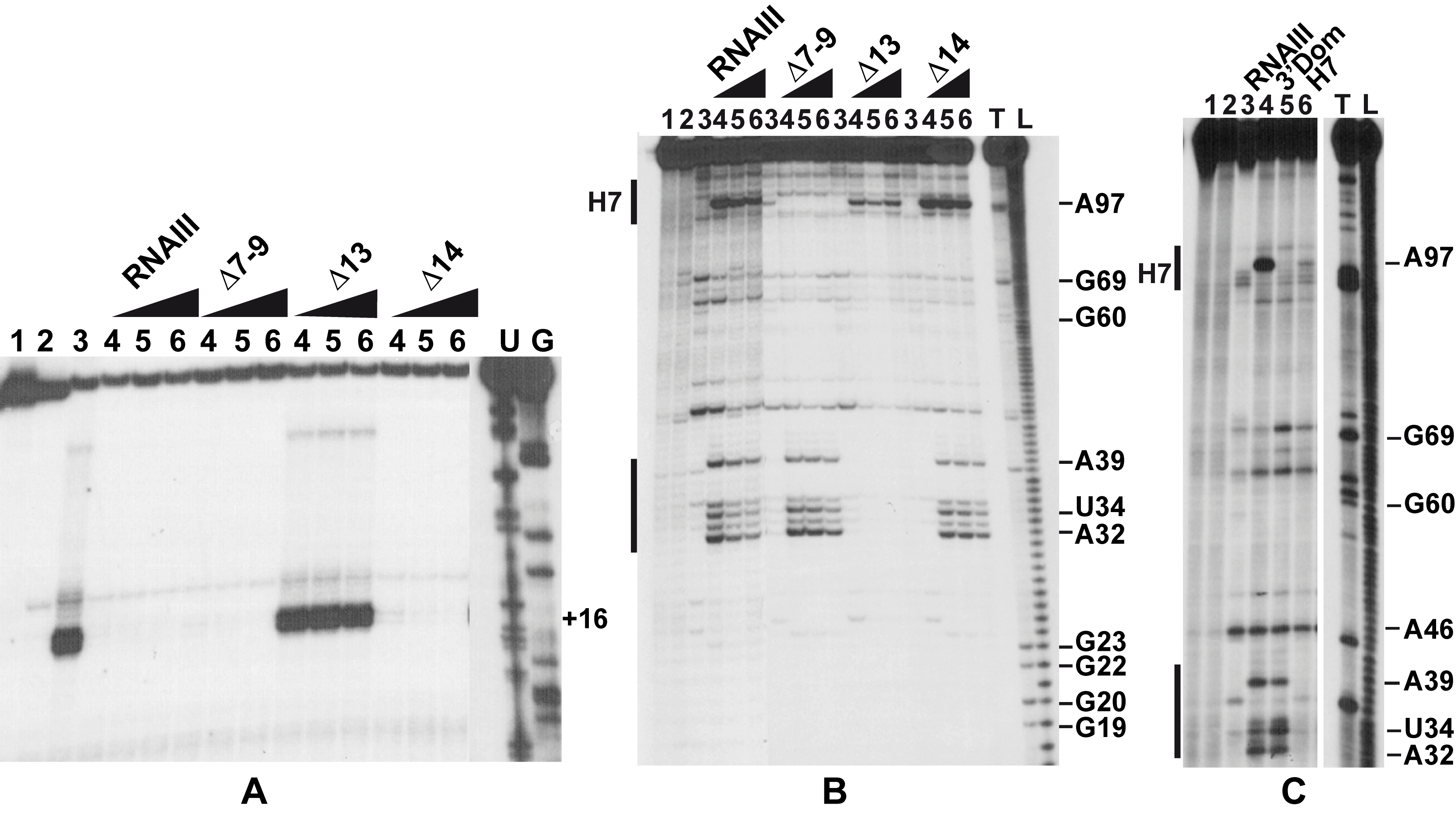 The RNAIII-<i>coa</i> mRNA complex prevents ribosome binding and promotes RNase III cleavages.