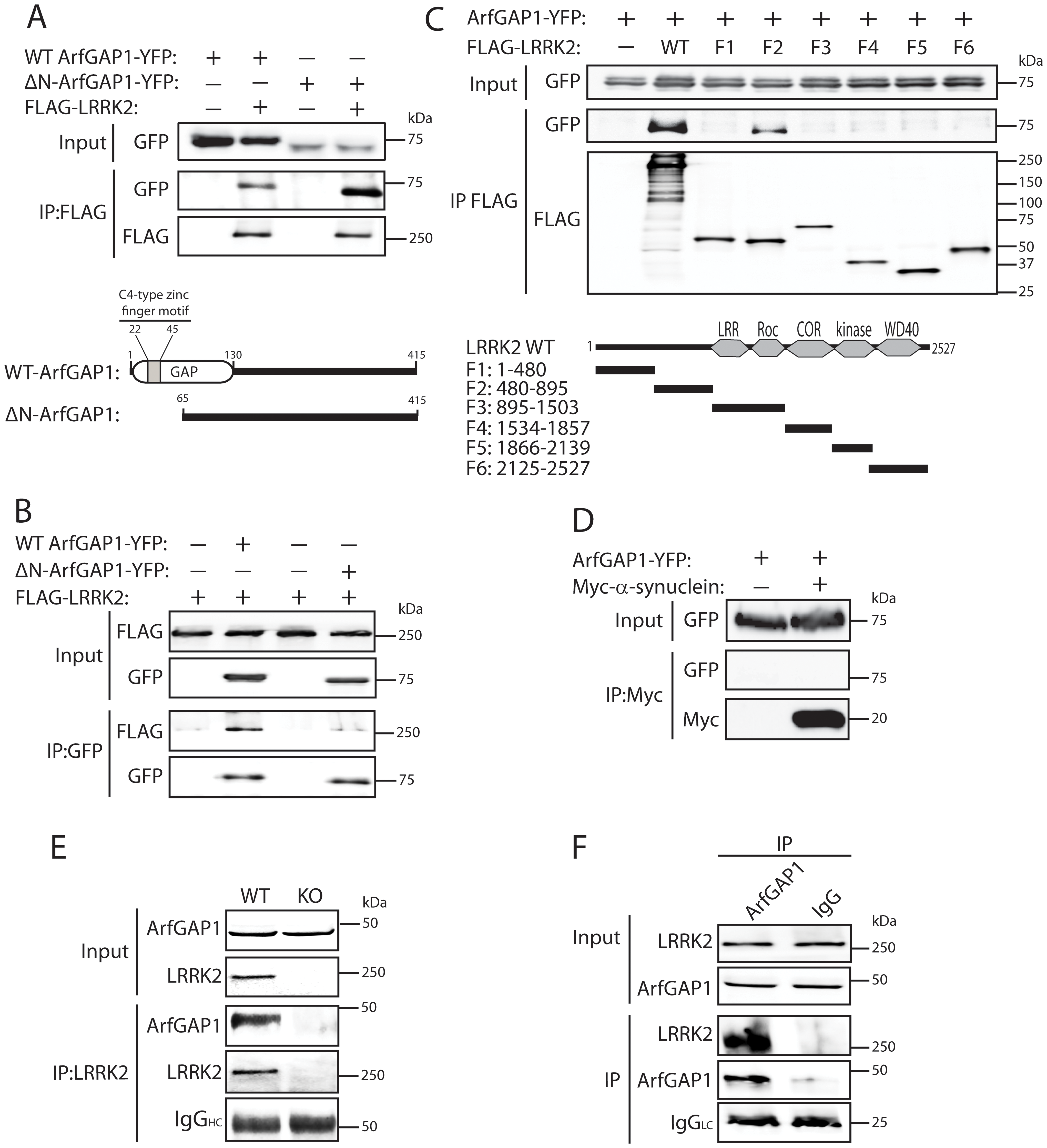 LRRK2 interacts with ArfGAP1 in mammalian cells and <i>in vivo</i>.