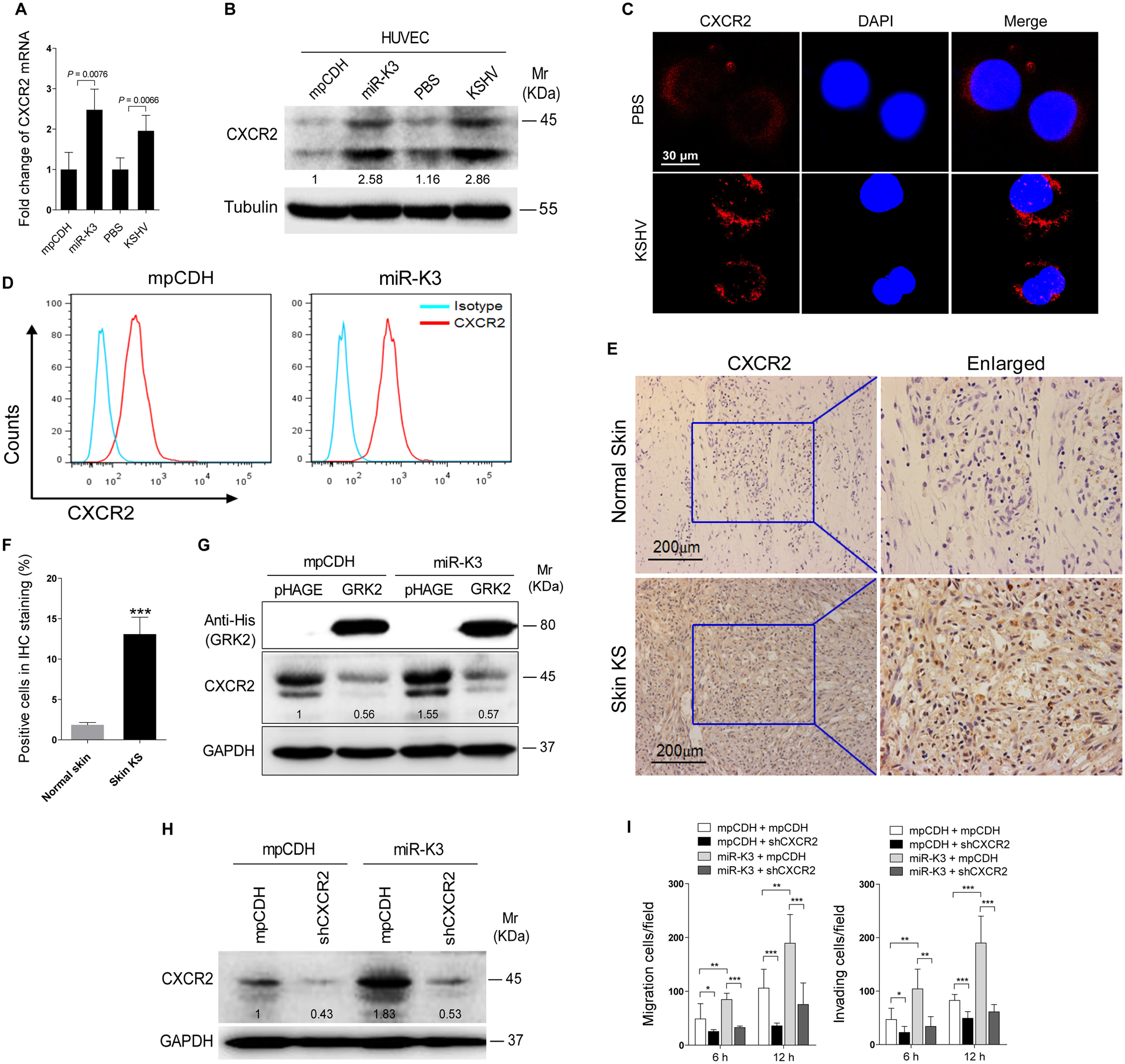 Activation of CXCR2, which was negatively regulated by GRK2, contributes to miR-K3-induced endothelial cell migration and invasion.