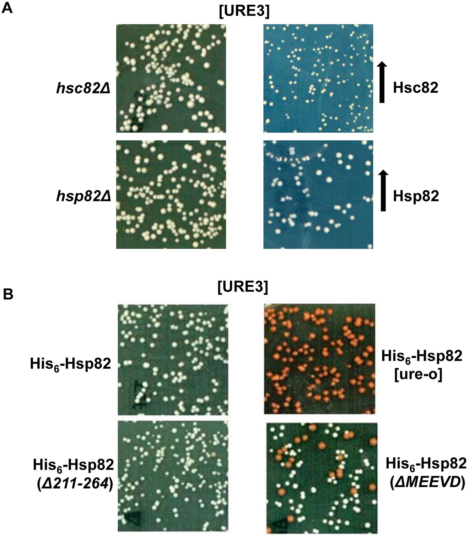 Deleting the MEEVD motif of Hsp90 destabilizes [URE3].