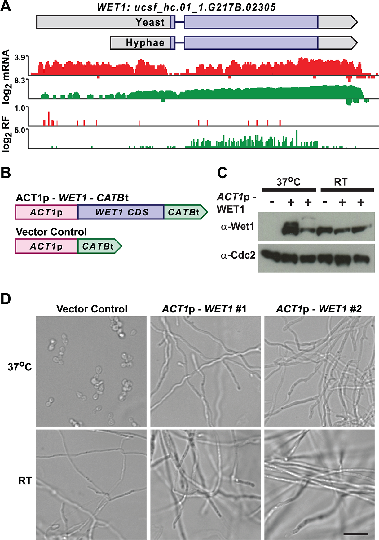 Misregulation of Wet1 expression induces inappropriate hyphal growth at 37°C.