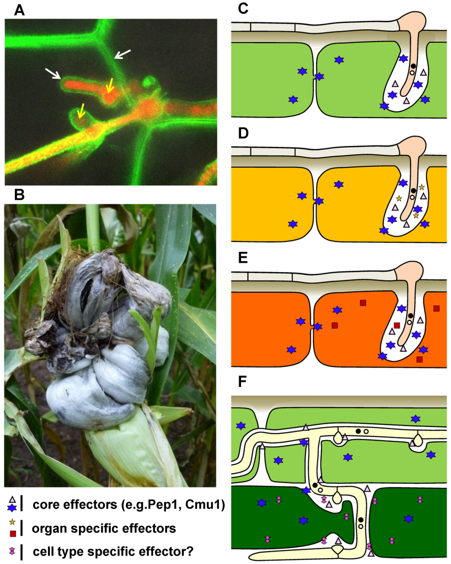 Disease symptoms and schematic presentation of effector cocktail use in different maize organs and tissues infected by <i>U. maydis</i>.