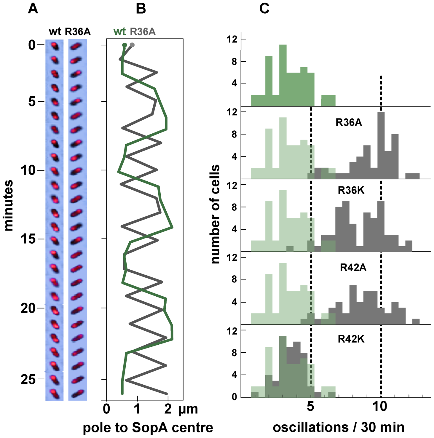 Effect of R36 and R42 mutations on SopA movement.