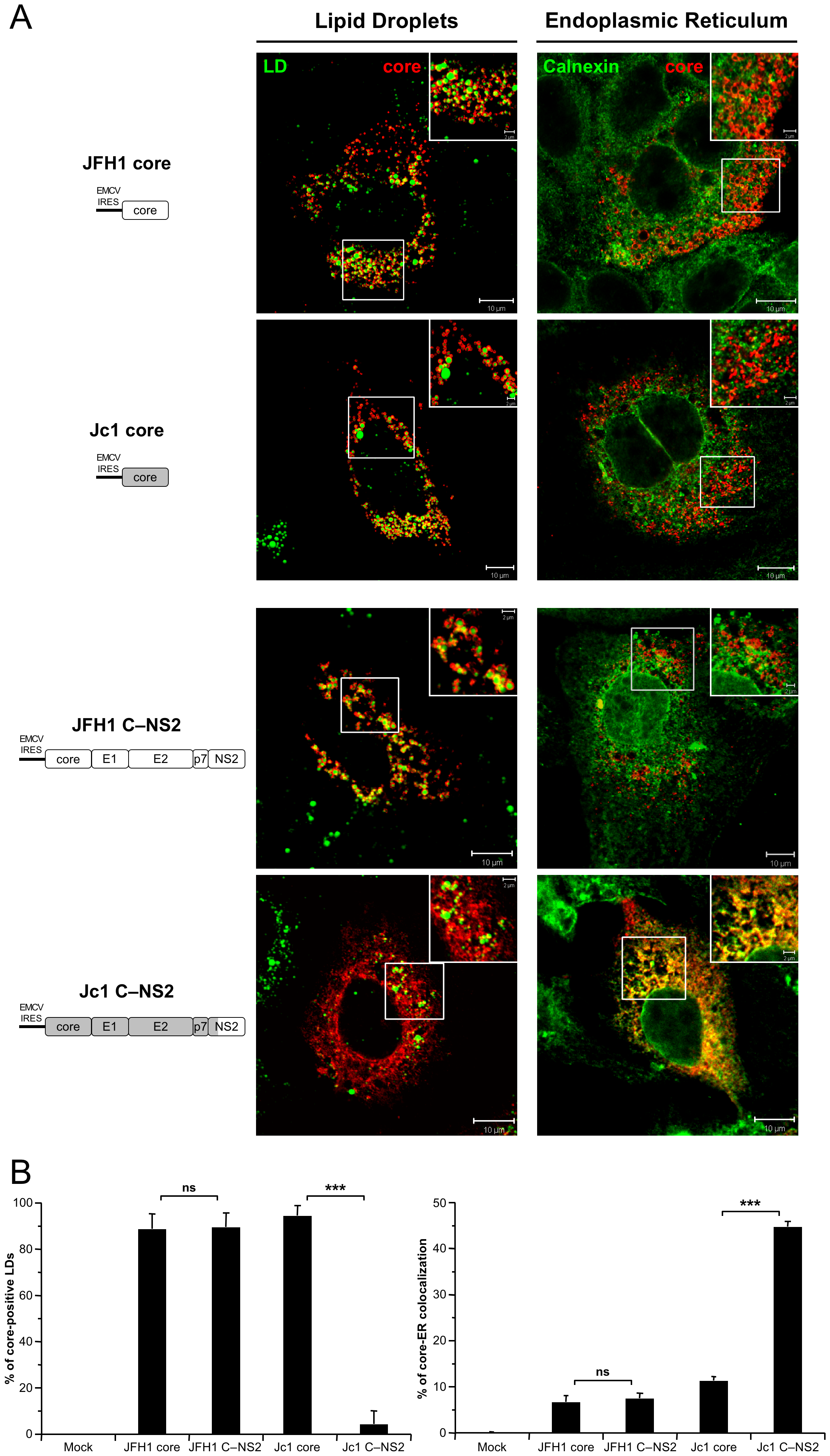 Differential intracellular localization of JFH1 and Jc1 core proteins in cells transfected with core and core—NS2 expression constructs.