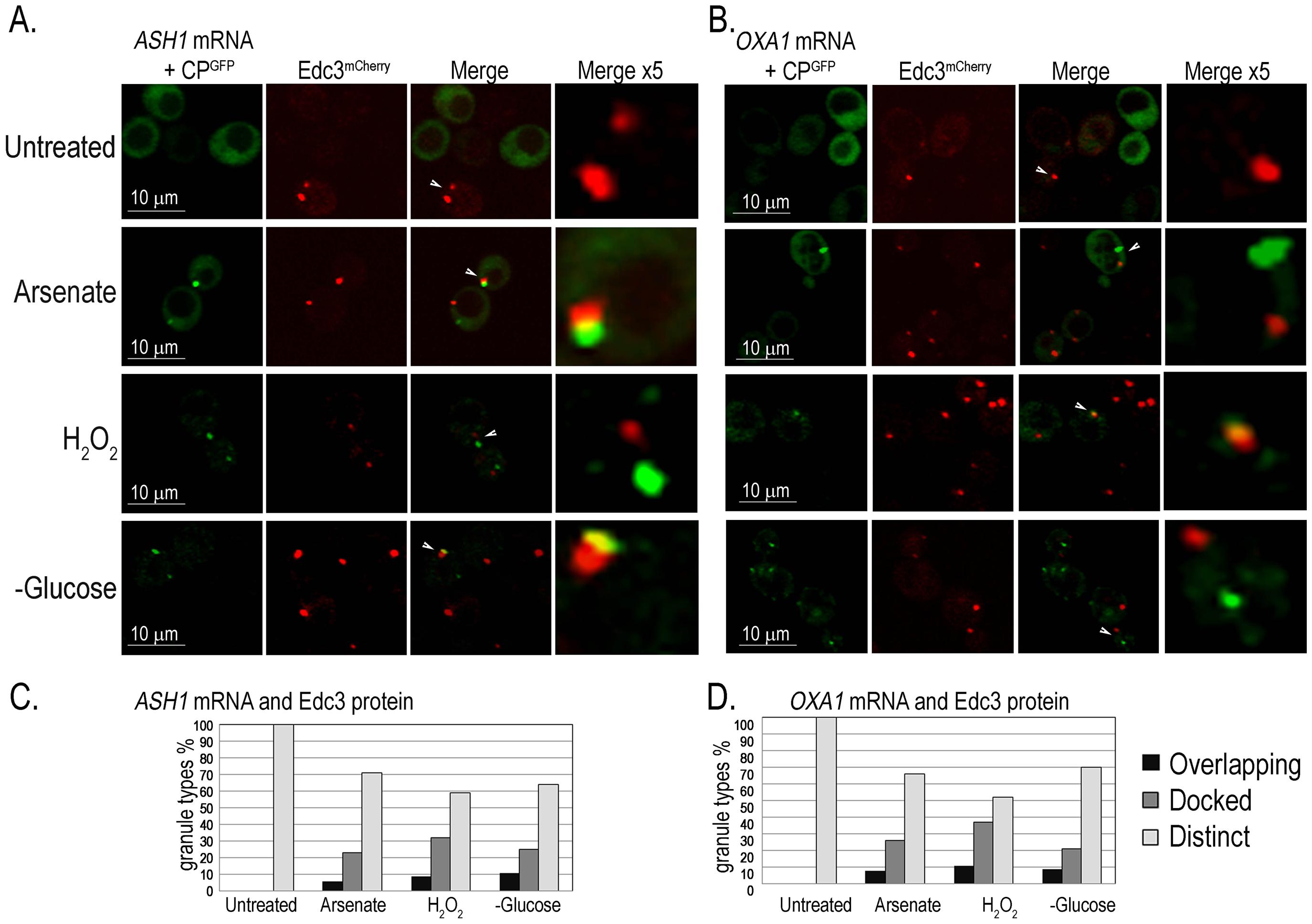 <i>ASH1</i> and <i>OXA1</i> mRNA granules interact with PBs.