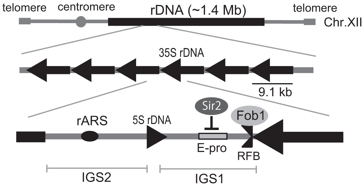 Structure of rDNA region in budding yeast.
