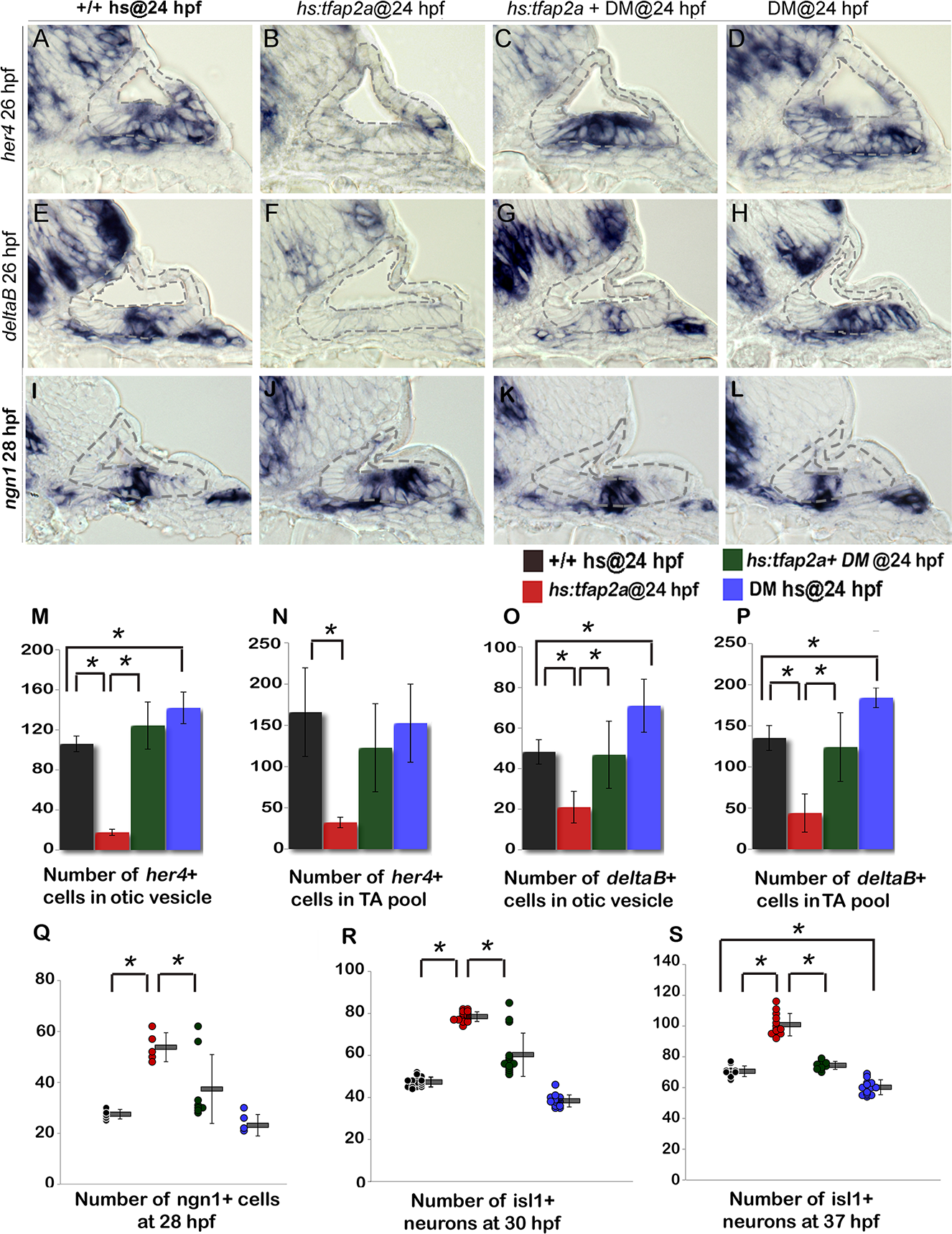 Bmp signaling mediates the effects of Tfap2a on SAG development.