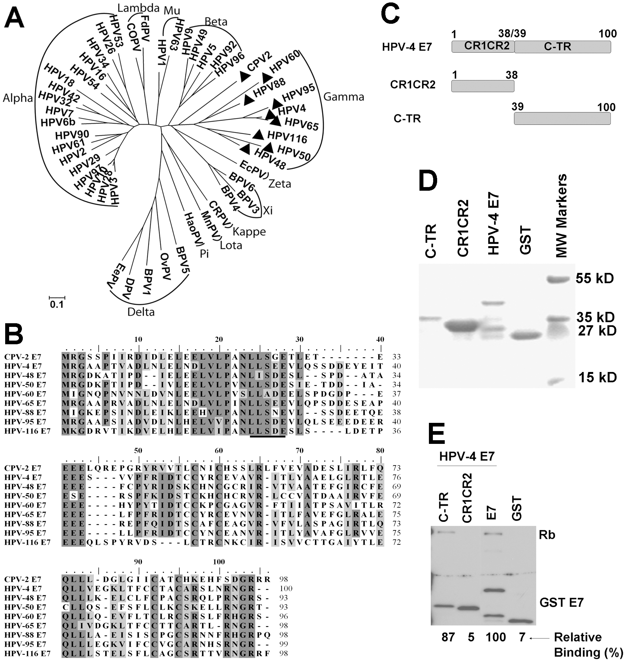 Similarities of the CPV-2 and gamma HPV E7 proteins.