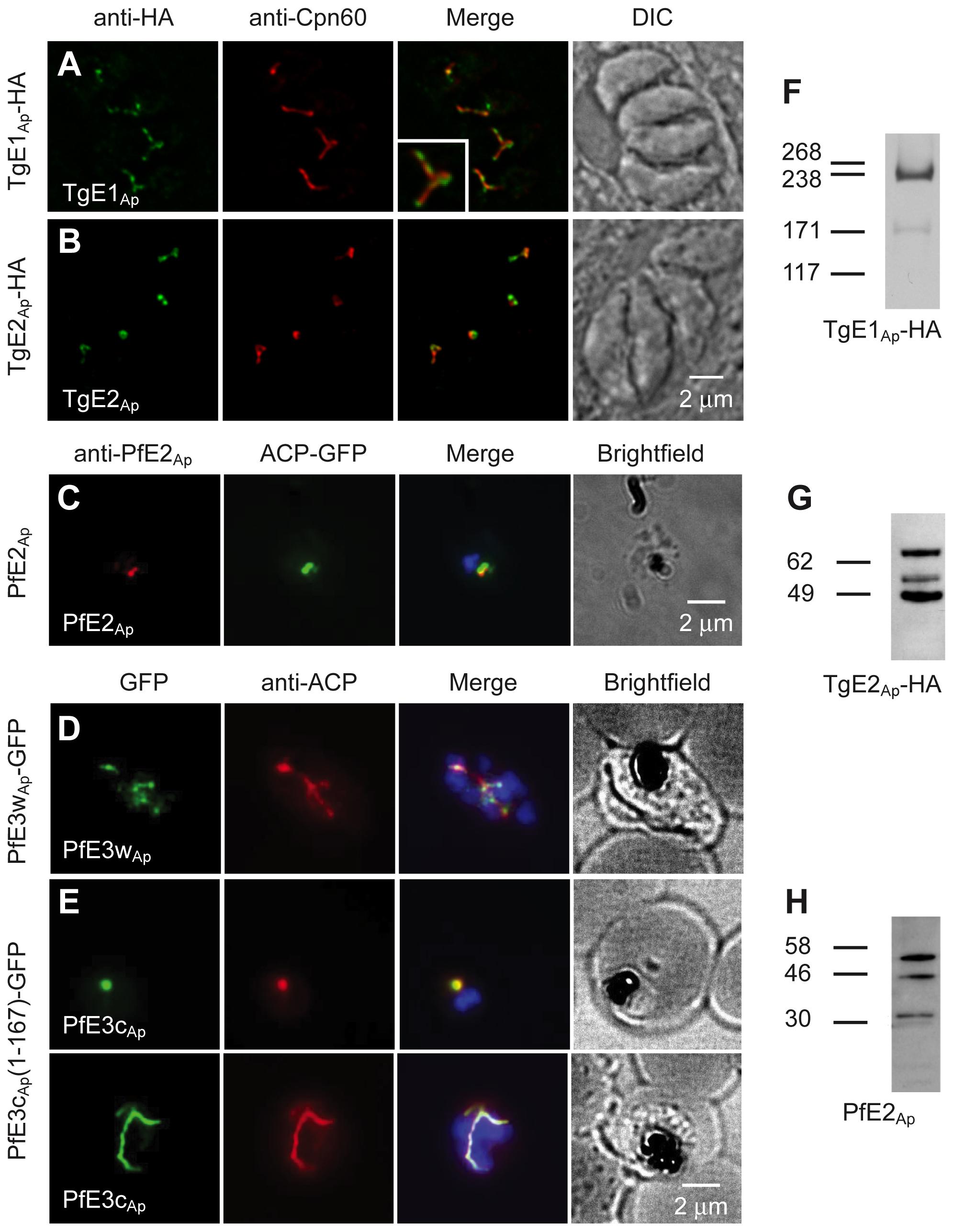 Ubiquitylation proteins localize to the apicoplast in <i>Plasmodium falciparum</i> and <i>Toxoplasma gondii</i>.