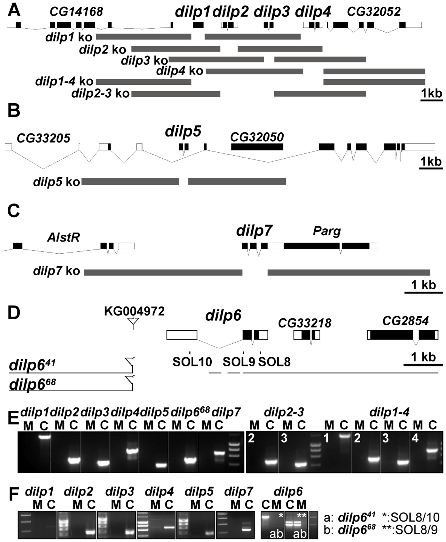 Gene locus organization and generation of <i>dilp</i> mutants.