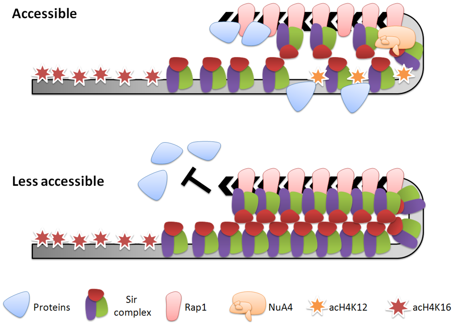 Model for the regulation of telomeric heterochromatin plasticity by histone H4K12 acetylation.