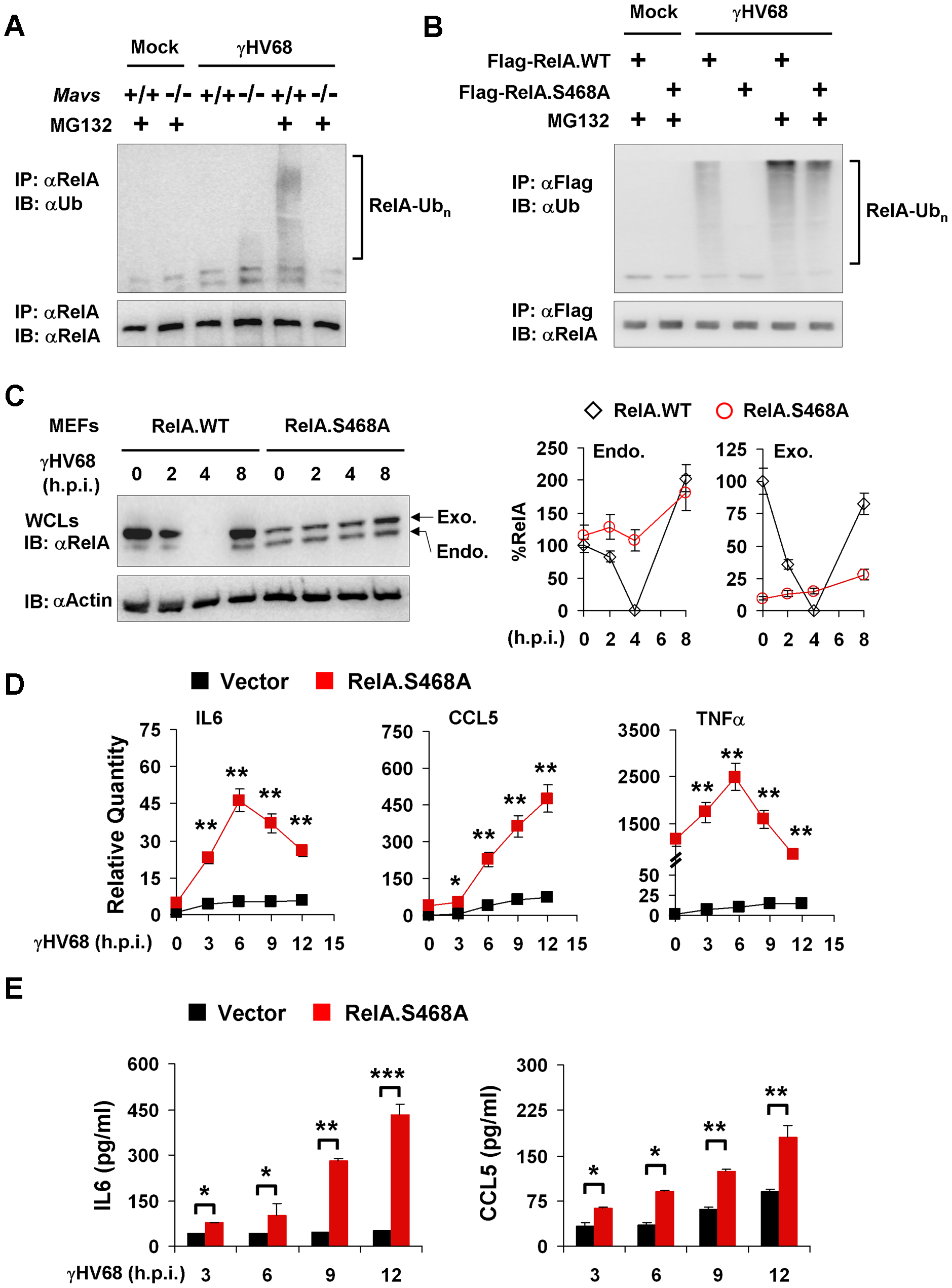 RelA phosphorylation at Serine 468 is critical for γHV68-induced RelA degradation.