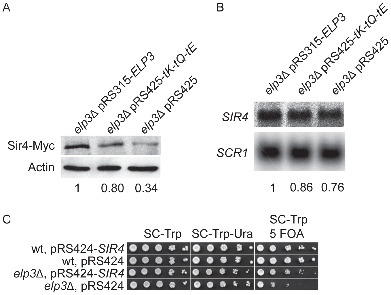 Sir4 protein levels are decreased in the <i>elp3</i>Δ mutant.