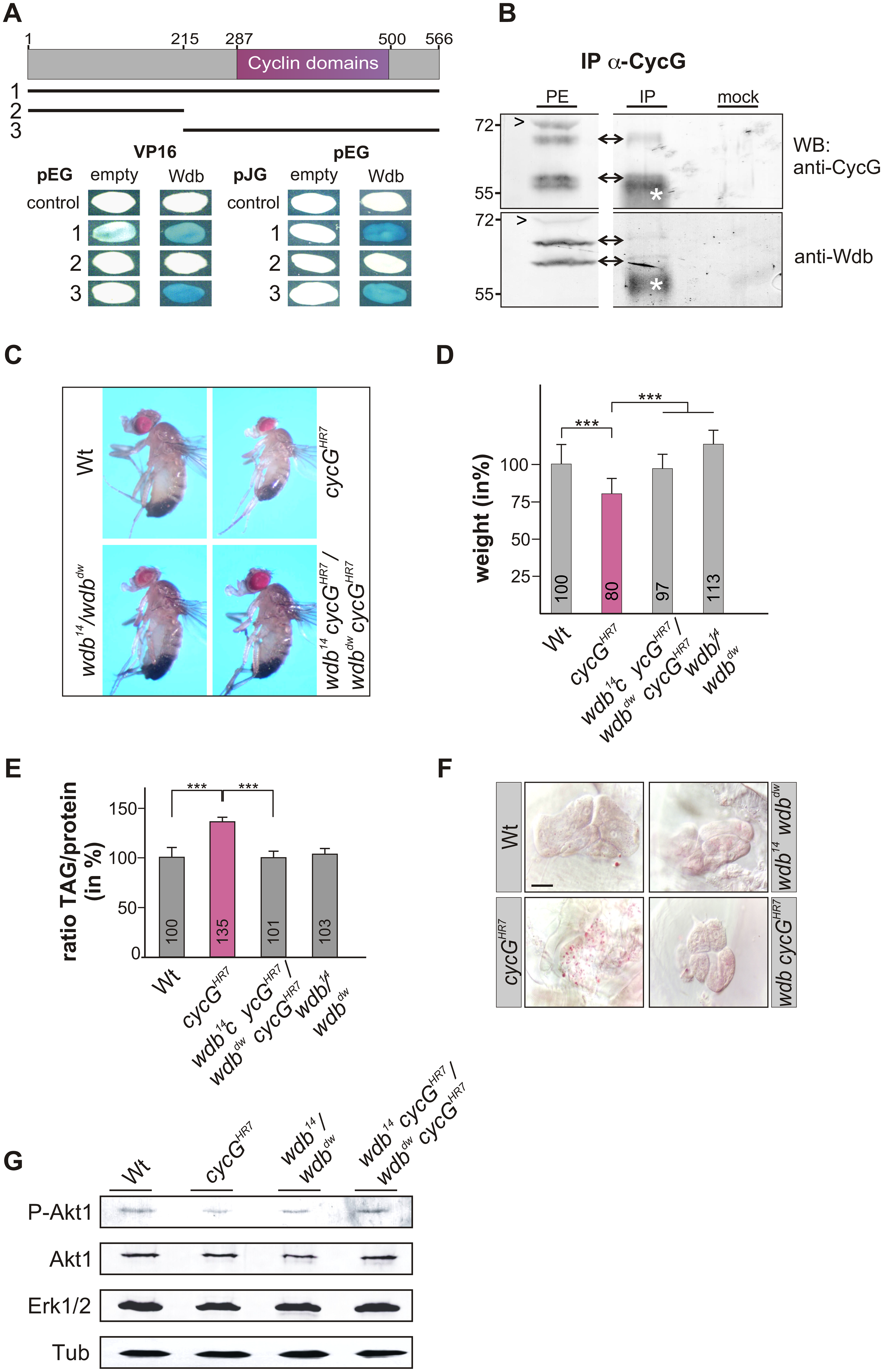 Interaction of CycG and Wdb.