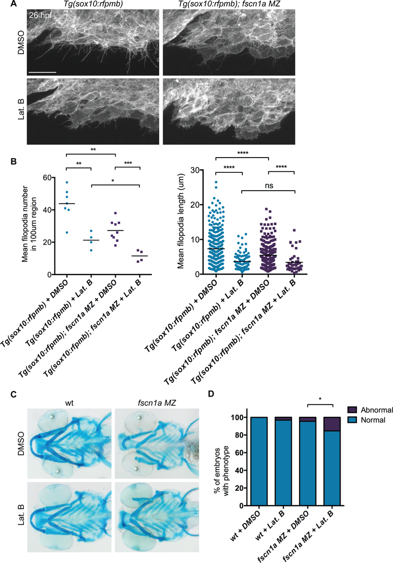 Depletion of <i>fscn1a</i>-independent NC cell filopodia by low concentration Latrunculin B treatment does not enhance the severity of <i>fscn1a MZ</i> craniofacial defects.
