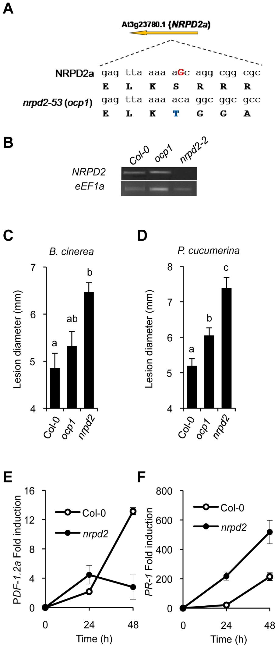 <i>ocp1</i> is a mutant allele of <i>NRPD2</i>.