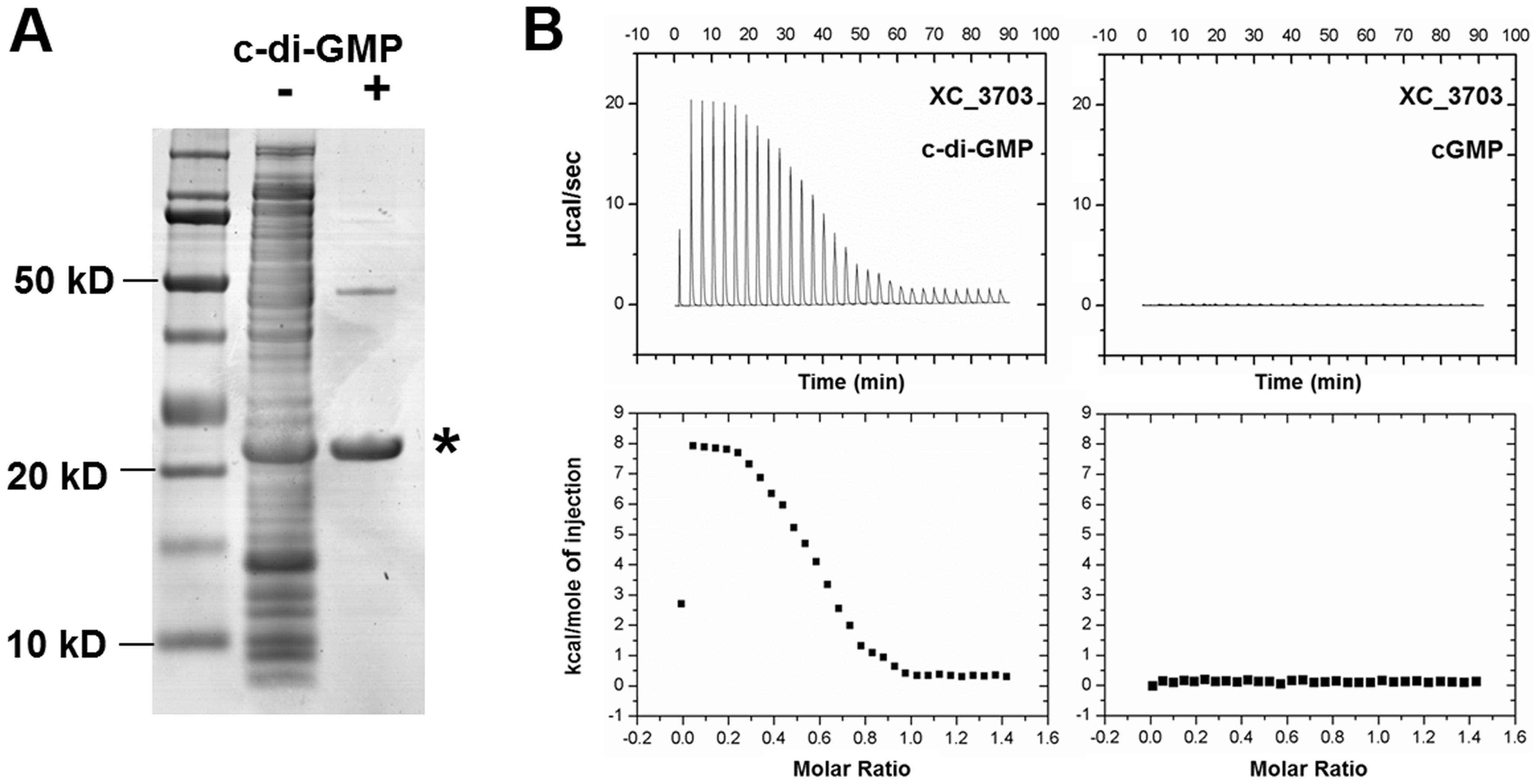 Identification of <i>Xanthomonas campestris</i> XC_3703 as a cyclic di-GMP- binding protein.