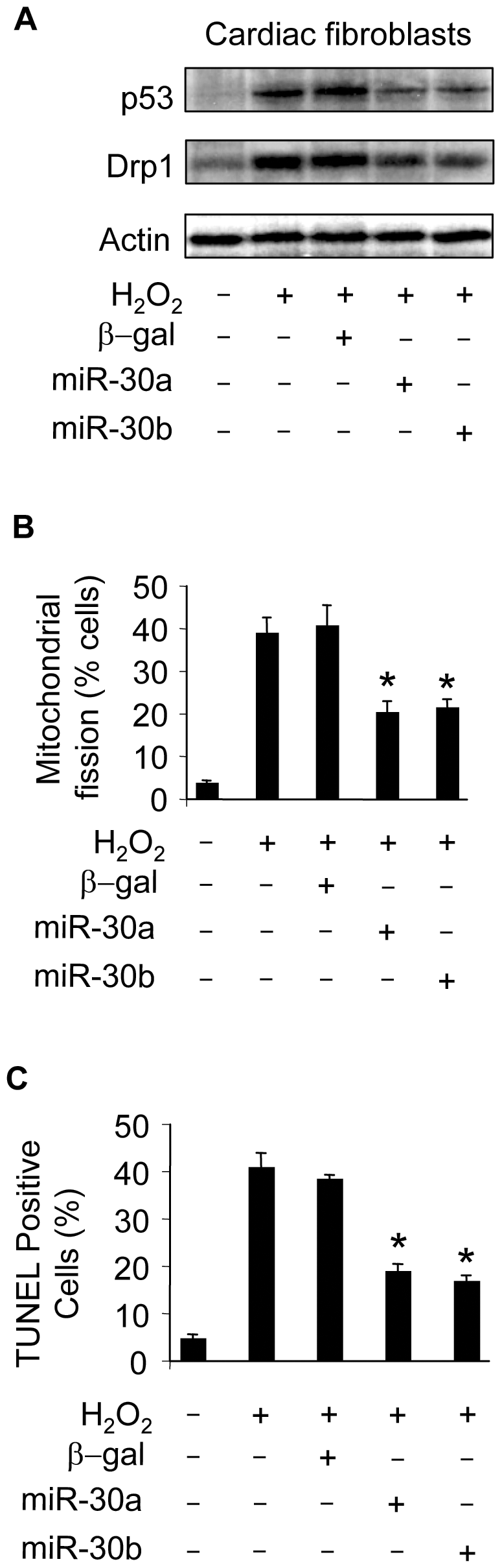 miR-30 can influence mitochondrial fission and apoptosis in cardiac fibroblasts.