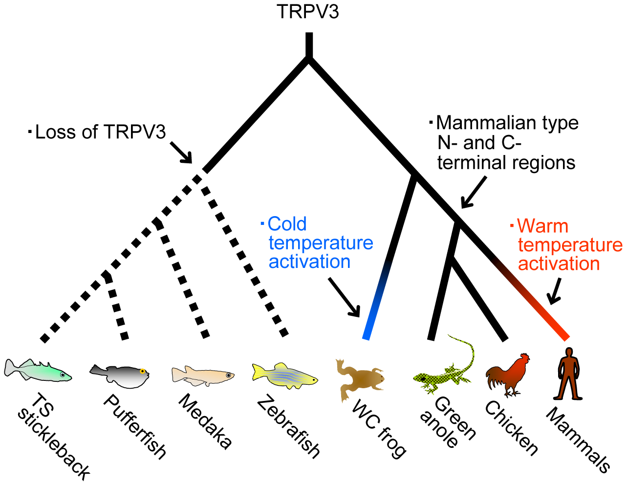 The evolutionary changes of TRPV3 channels in the vertebrate lineages.