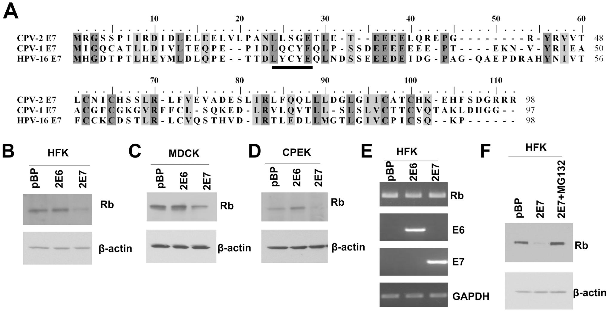 Despite the lack of a conserved LXCXE motif, CPV-2 E7 still degrades pRb.