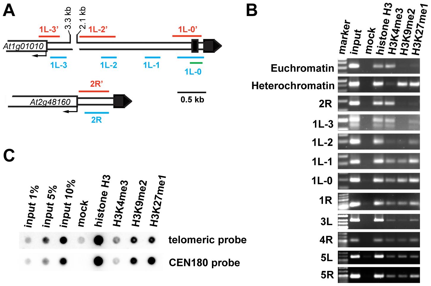 Chromatin structure of <i>Arabidopsis</i> chromosome termini.