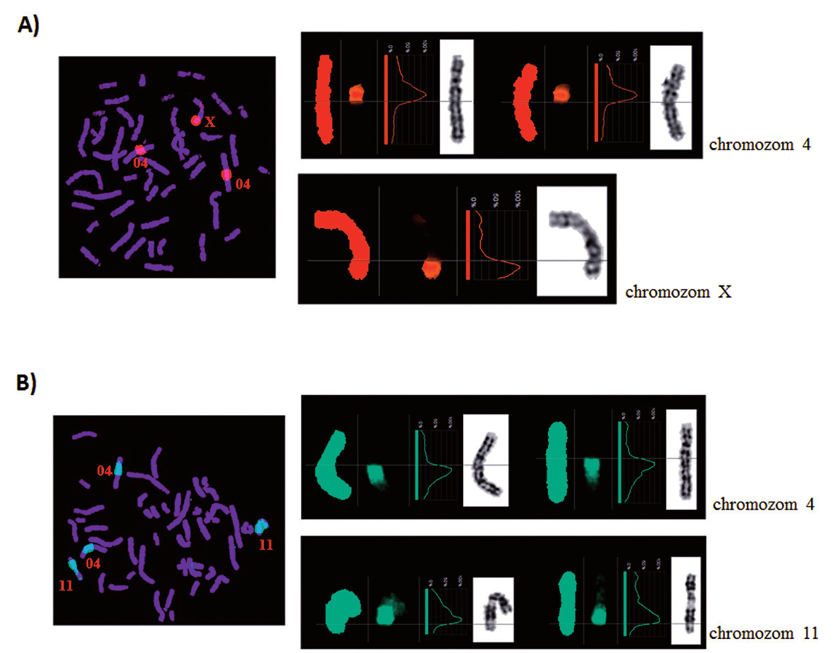 Reverzní FISH. Ověření specifity disekovaných chromozomových fragmentů u pacienta 2. A) Derivovaný chromozom 4. B) Derivovaný chromozom 11.