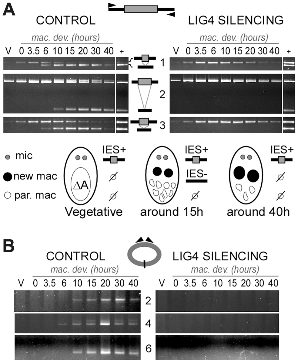 Absence of final junction products following IES excision in <i>LIG4</i>-silenced cells.
