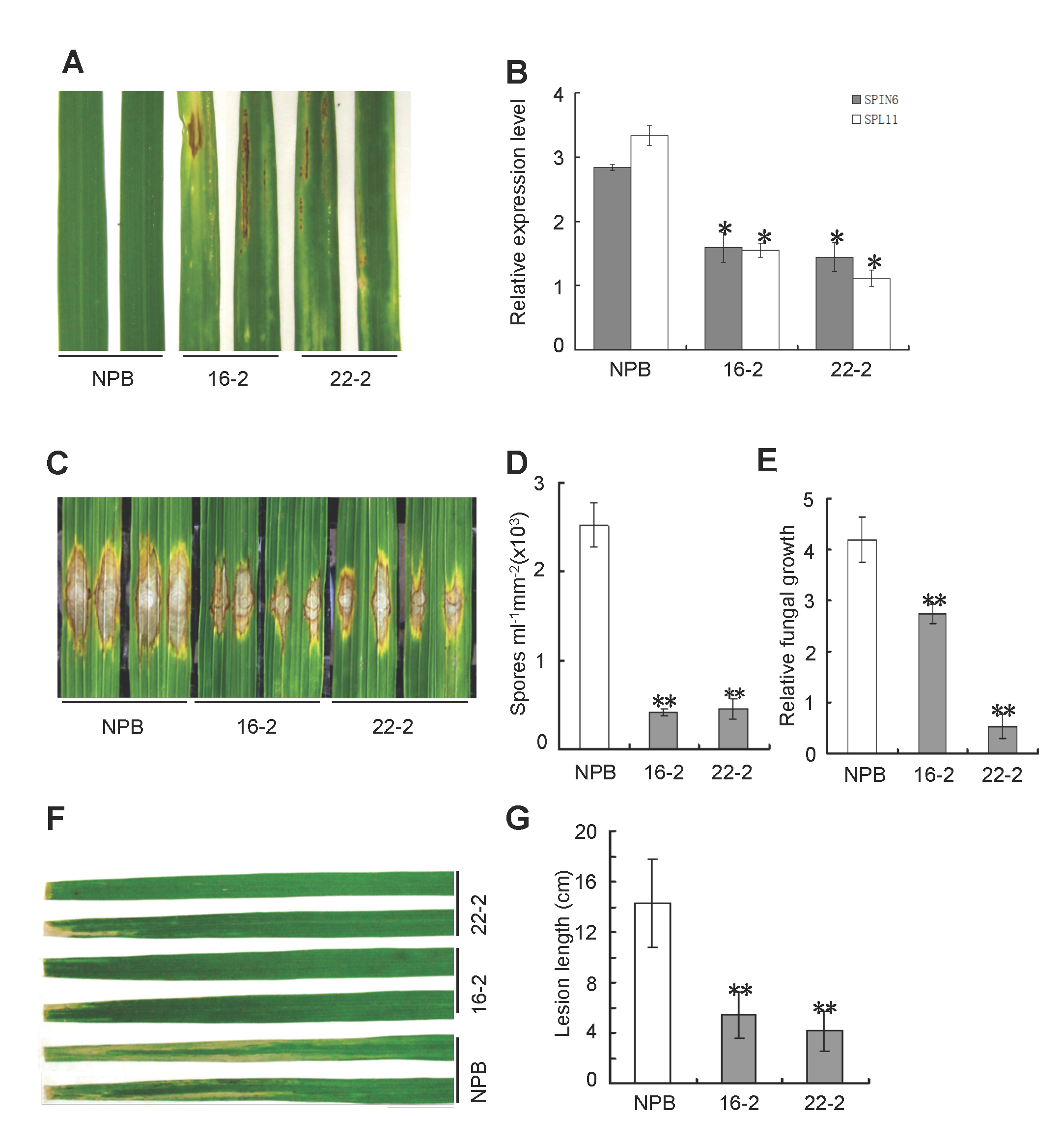 Knock-down of <i>Spin6</i> results in cell death phenotypes and enhanced resistance to the rice blast pathogen <i>M</i>. <i>oryzae</i> and the bacterial blight pathogen <i>Xoo</i> in rice.